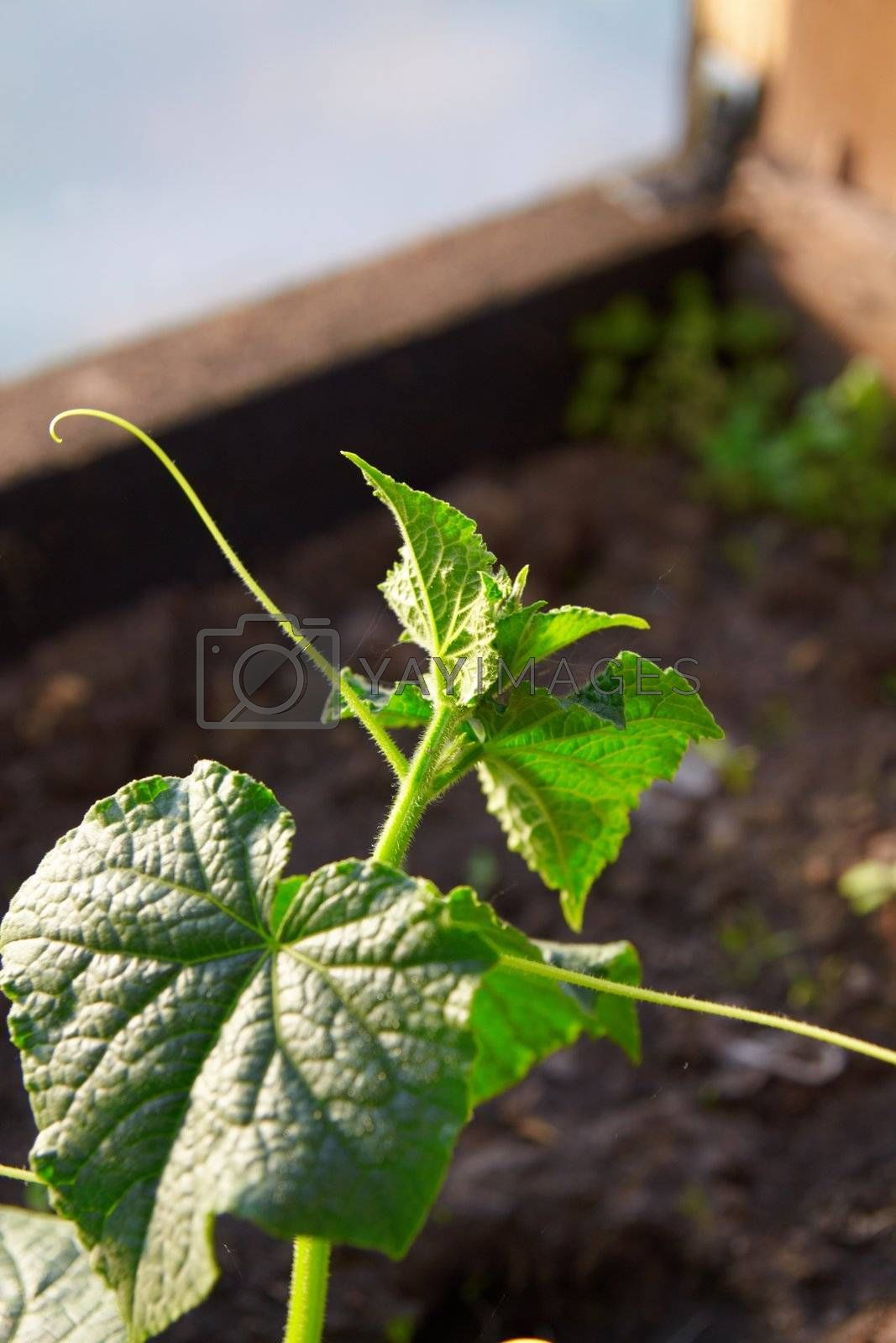 Young cucumber plant in hothouse