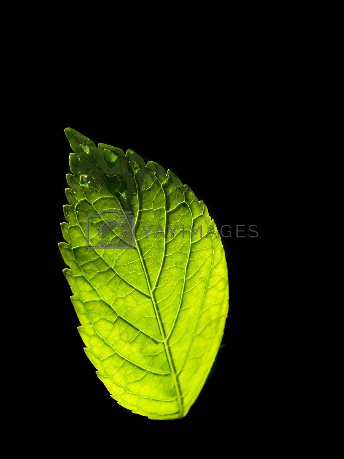 Royalty free image of Green leaf on black background  by Baltus