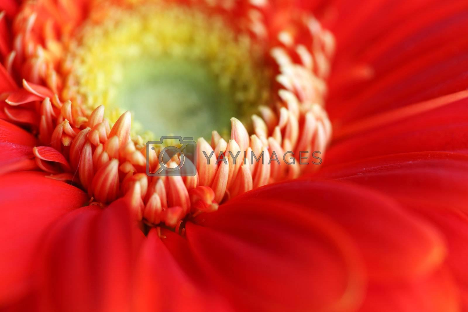red gerber macro close up