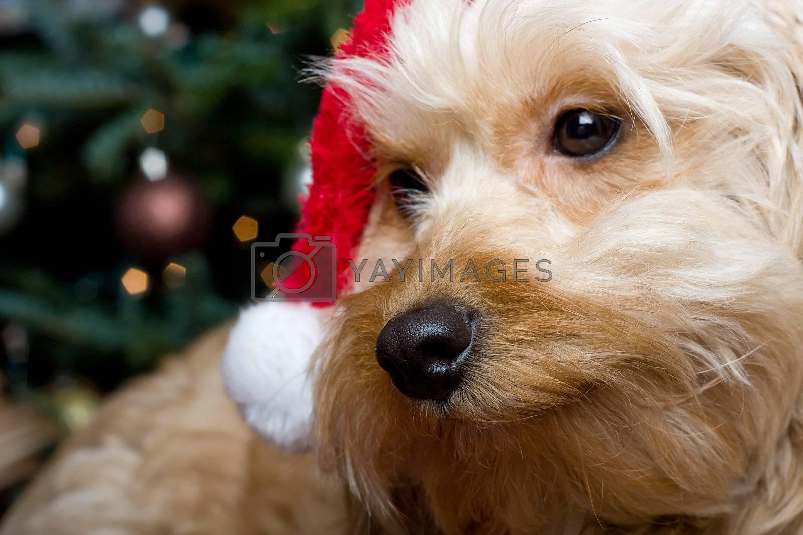 Royalty free image of santa puppy by snokid