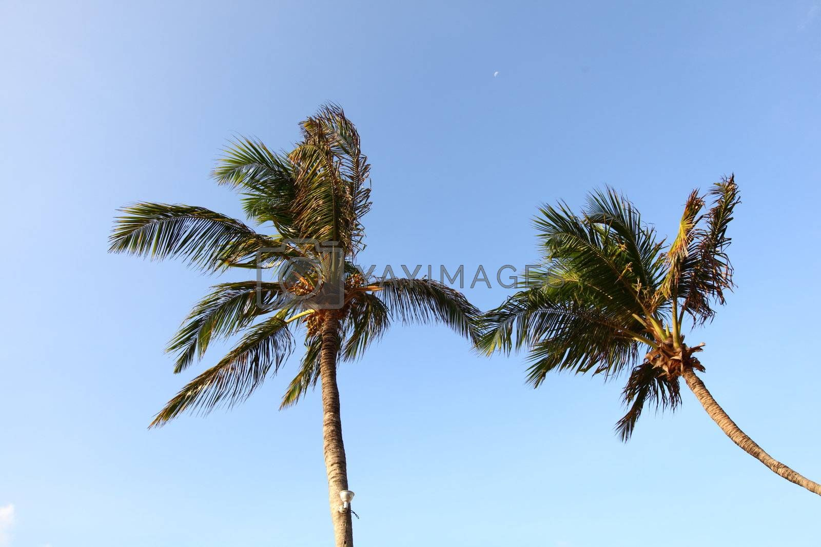 palm green foliage  in blue sky