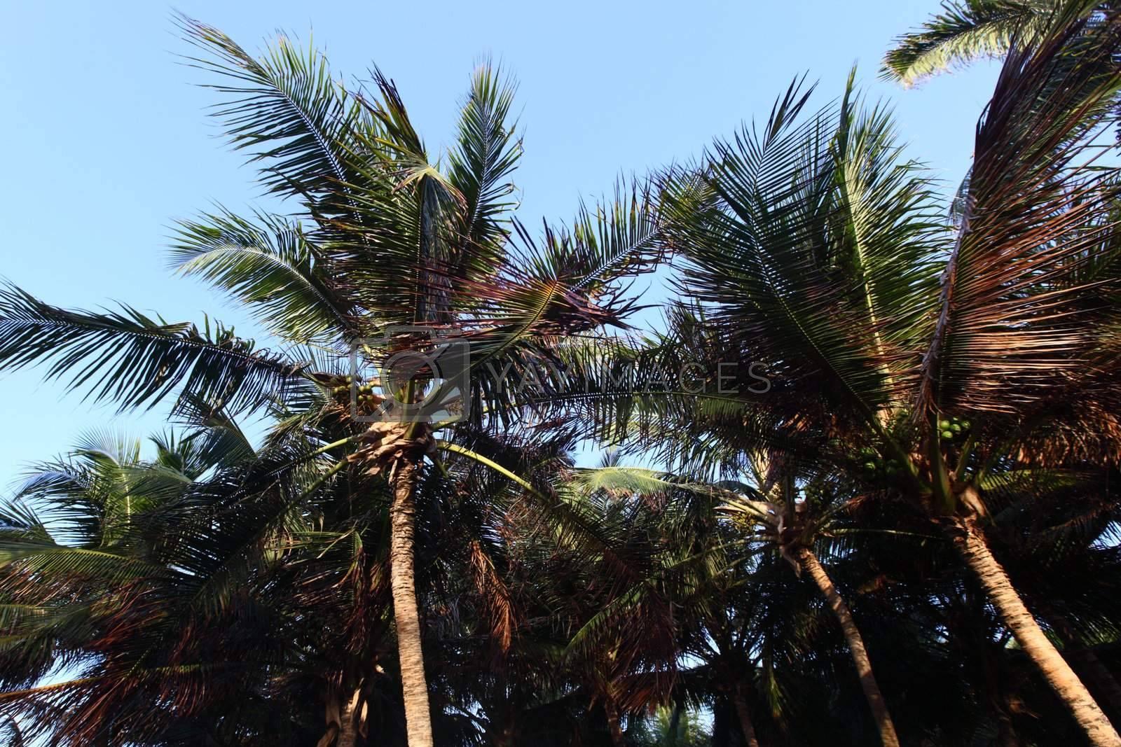 palm green foliage  in blue sky