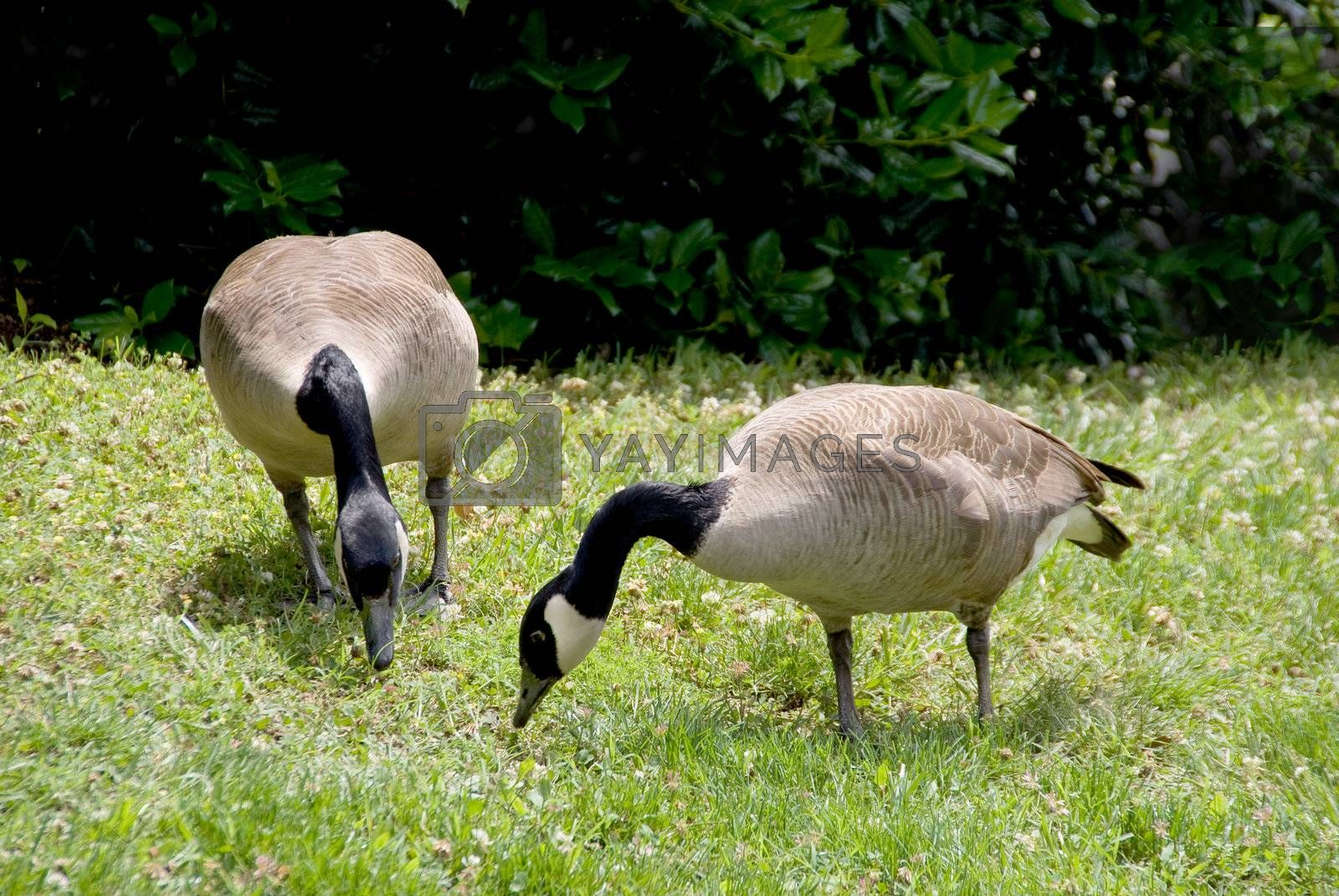 A pair of Canadian Geese grazing in a field.