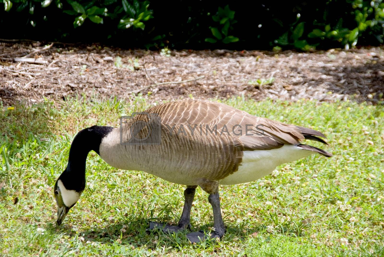 A Canadian Goose grazing on a grassy lawn.