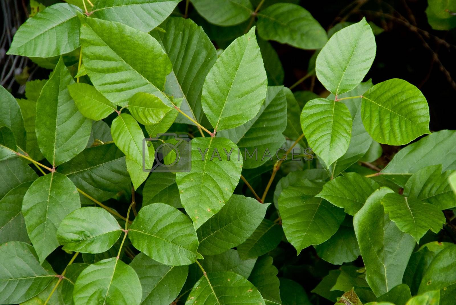 The Poison Ivy plant causes rashes, hives and other allergic reactions.
