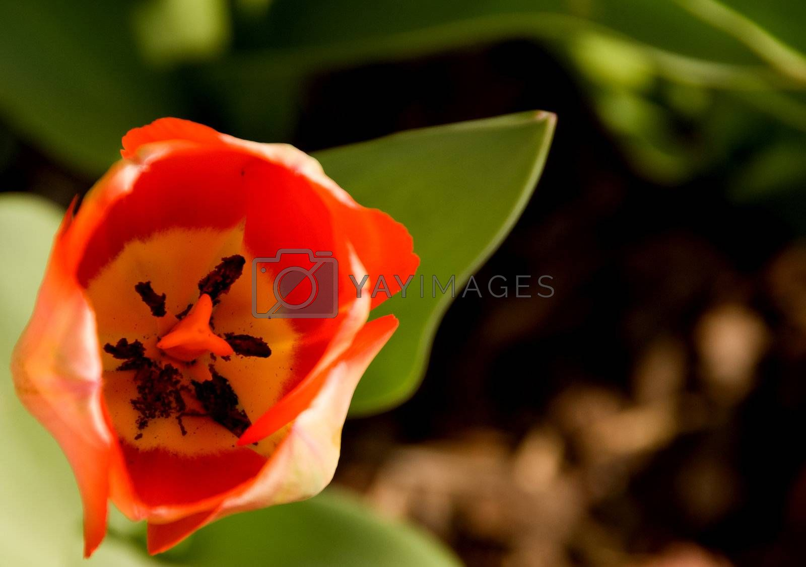 Royalty free image of Tulip  by robeo