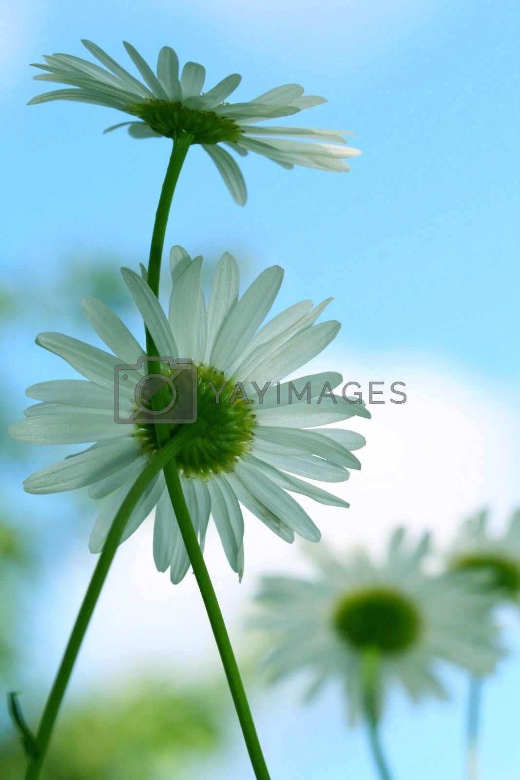 camomile daisy flowers in the sky