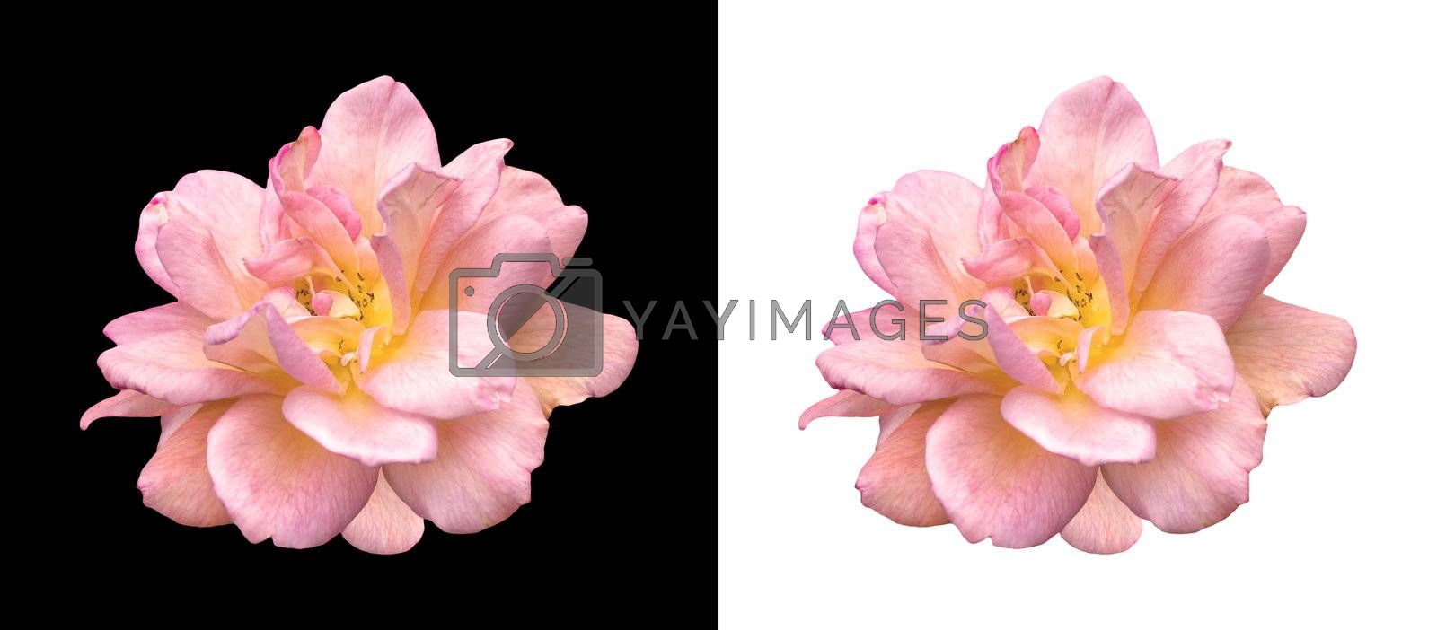 pink rose over black and white isolated backgrounds