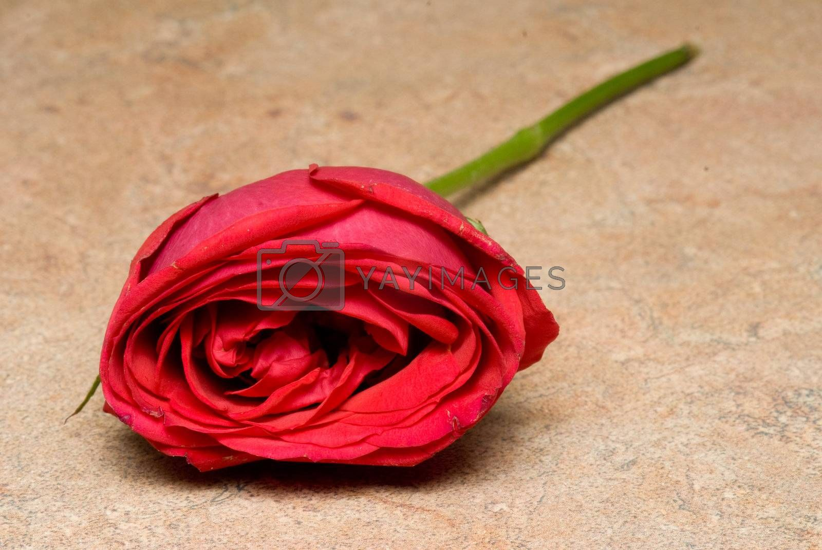 A single red rose for Valentine's day.