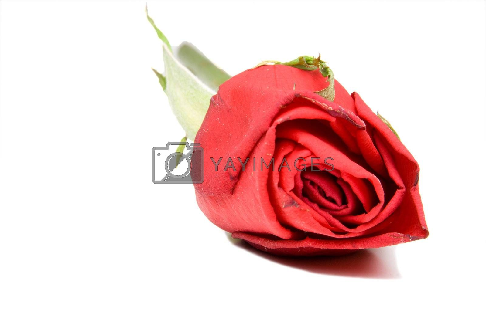 A single red rose for Valentines Day.