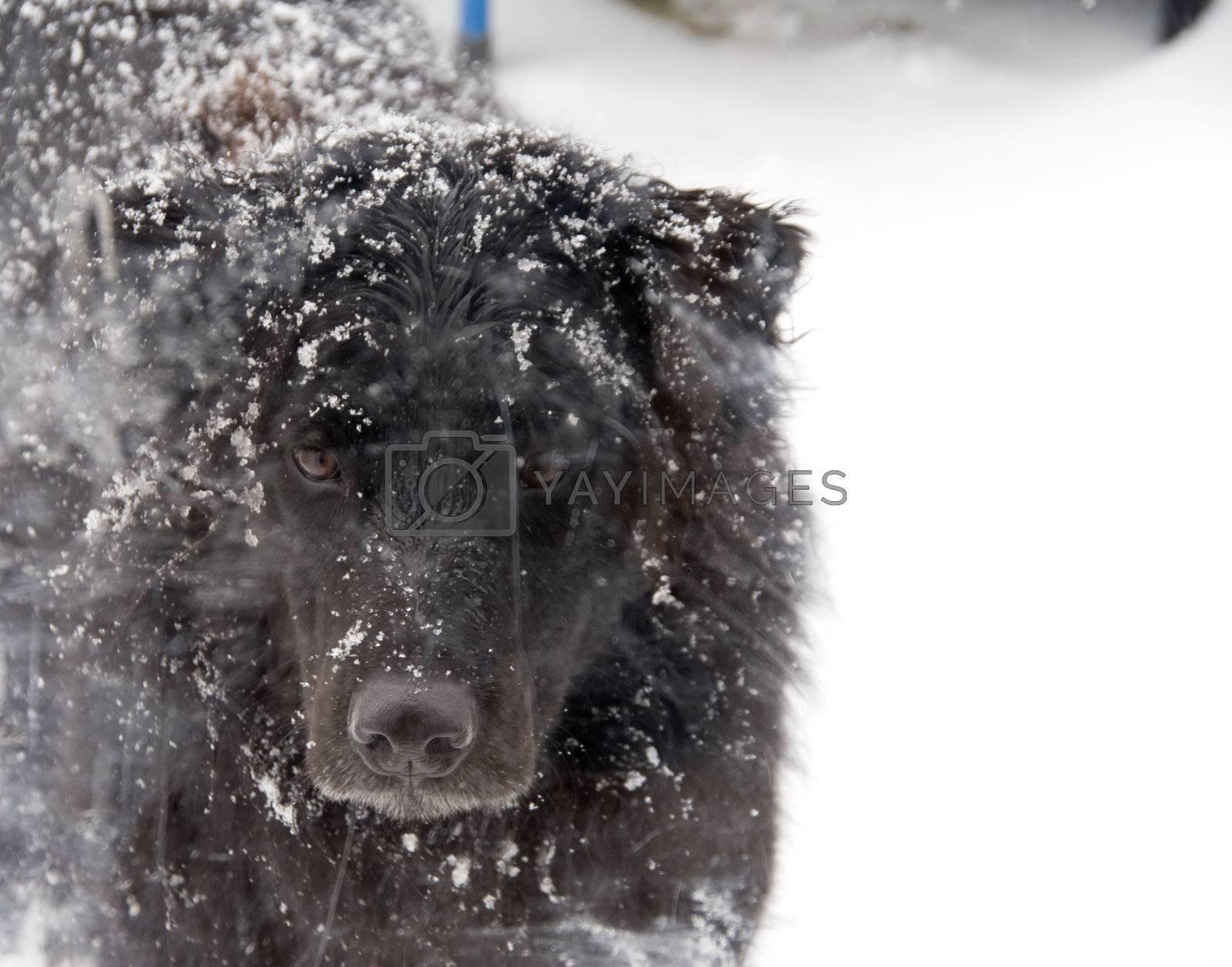 A black labrador Retriver mix in the snow.