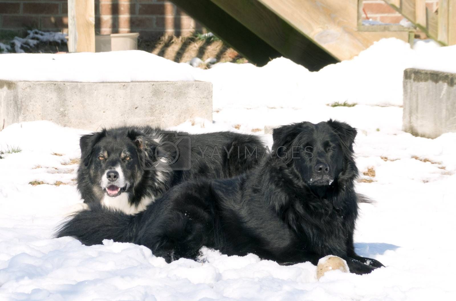 A border collie relaxing in the snow.