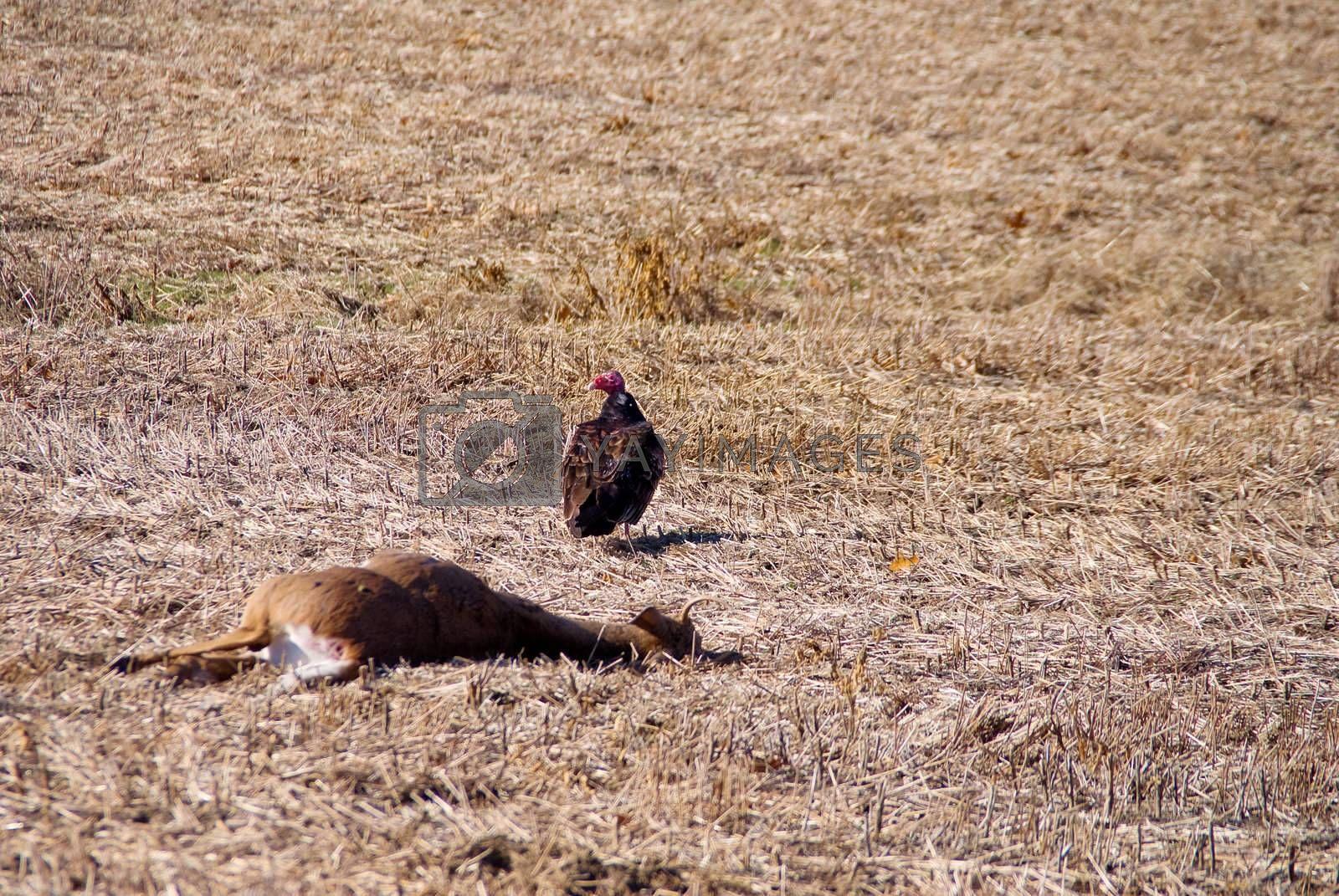 A Turkey Buzzard getting ready to have a snack.