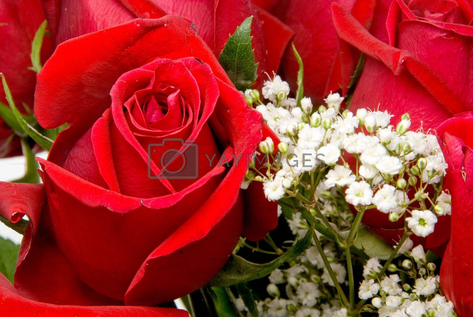 A beautiful red rose ready to make someone happy.