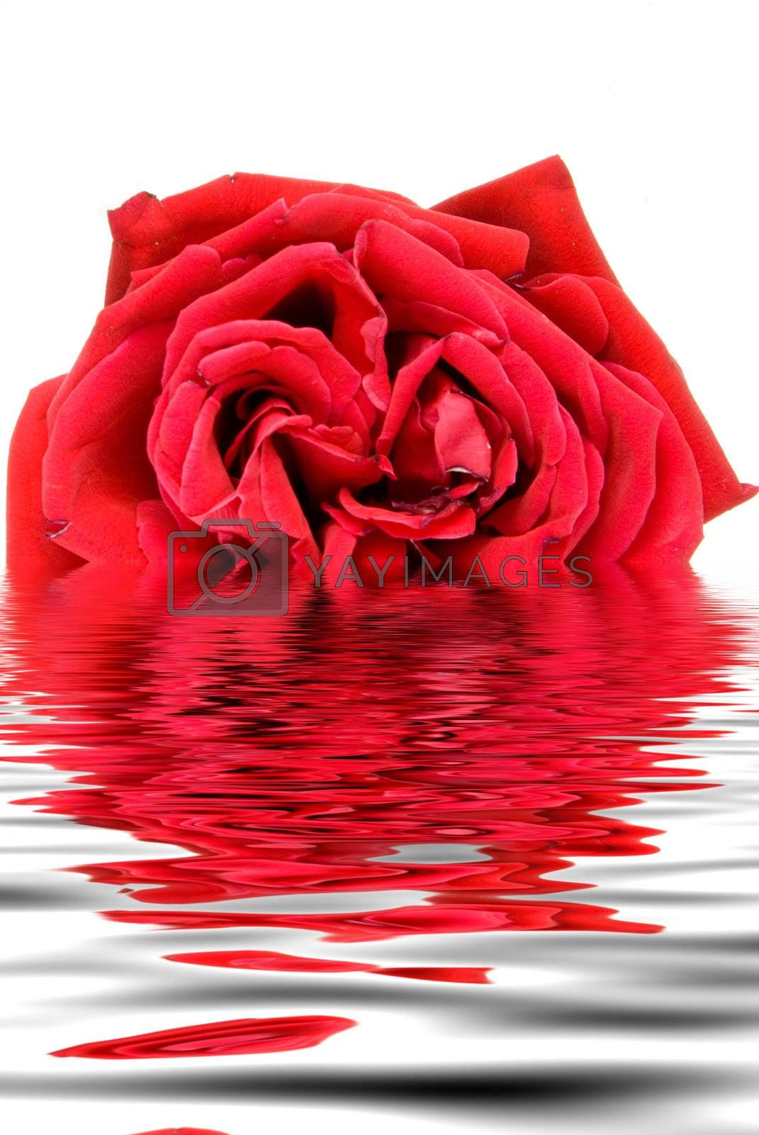 A beautiful red rose ready for a loved one.
