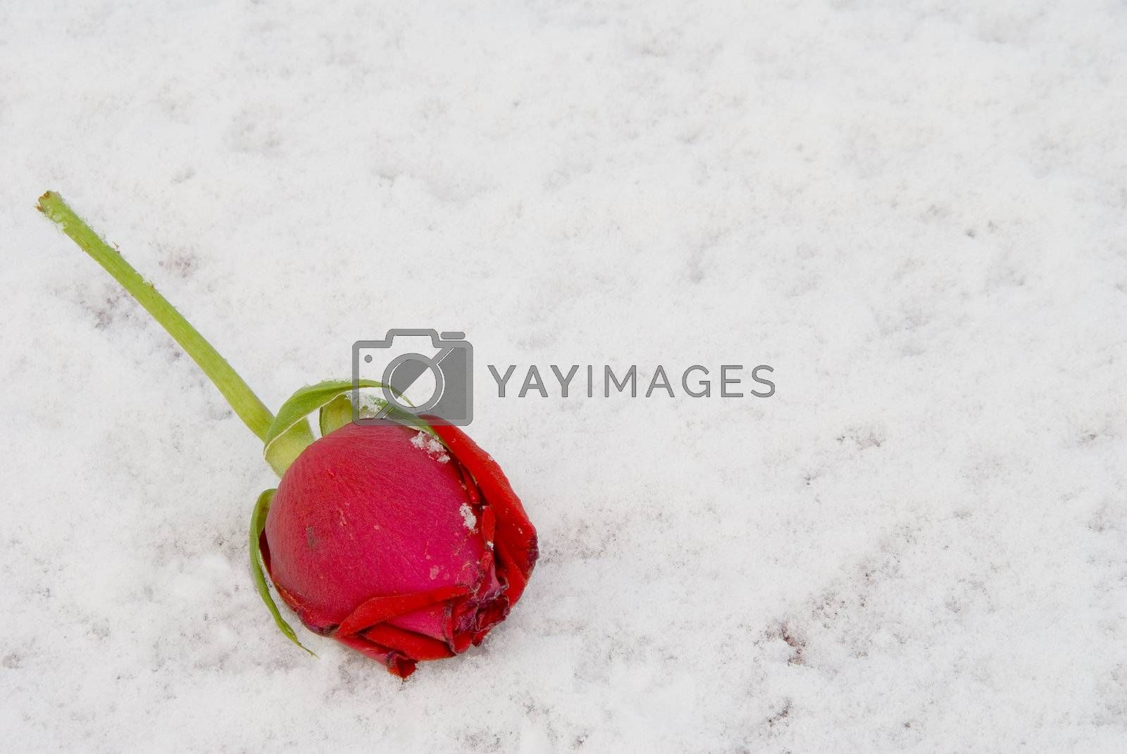 A beautiful red rose laying in the snow.