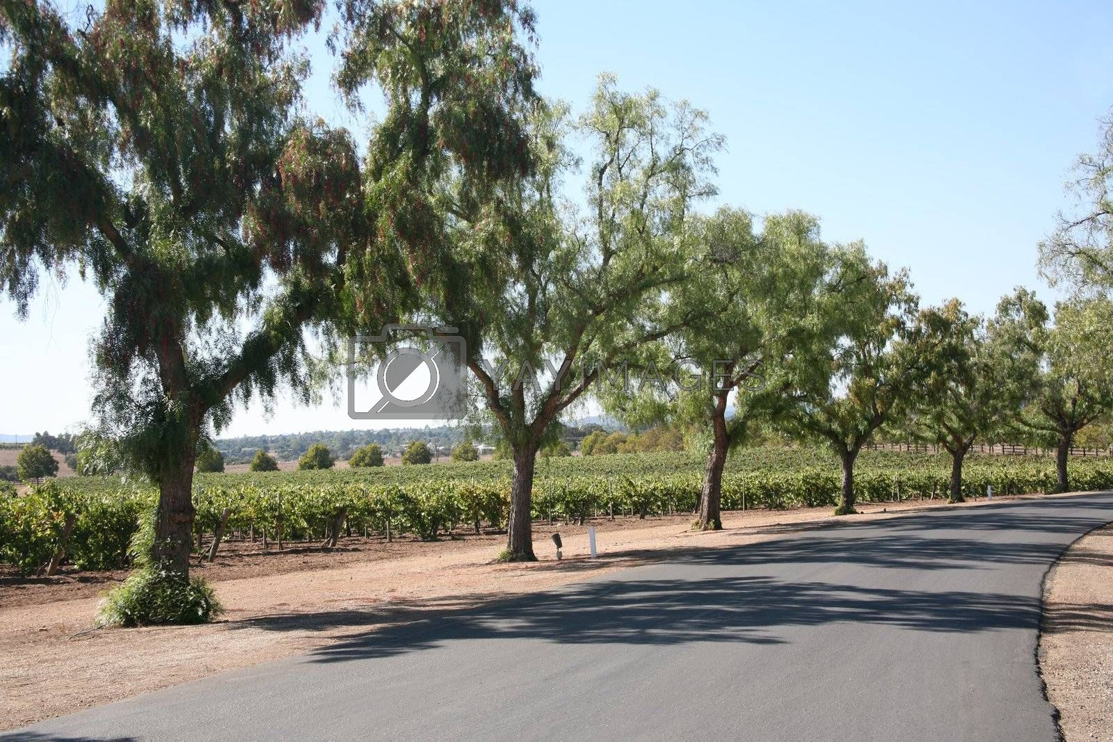 Royalty free image of Grape vineyard driveway by scrappinstacy