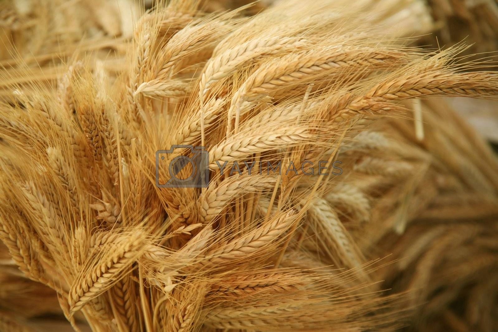 Royalty free image of Grain ears by scrappinstacy