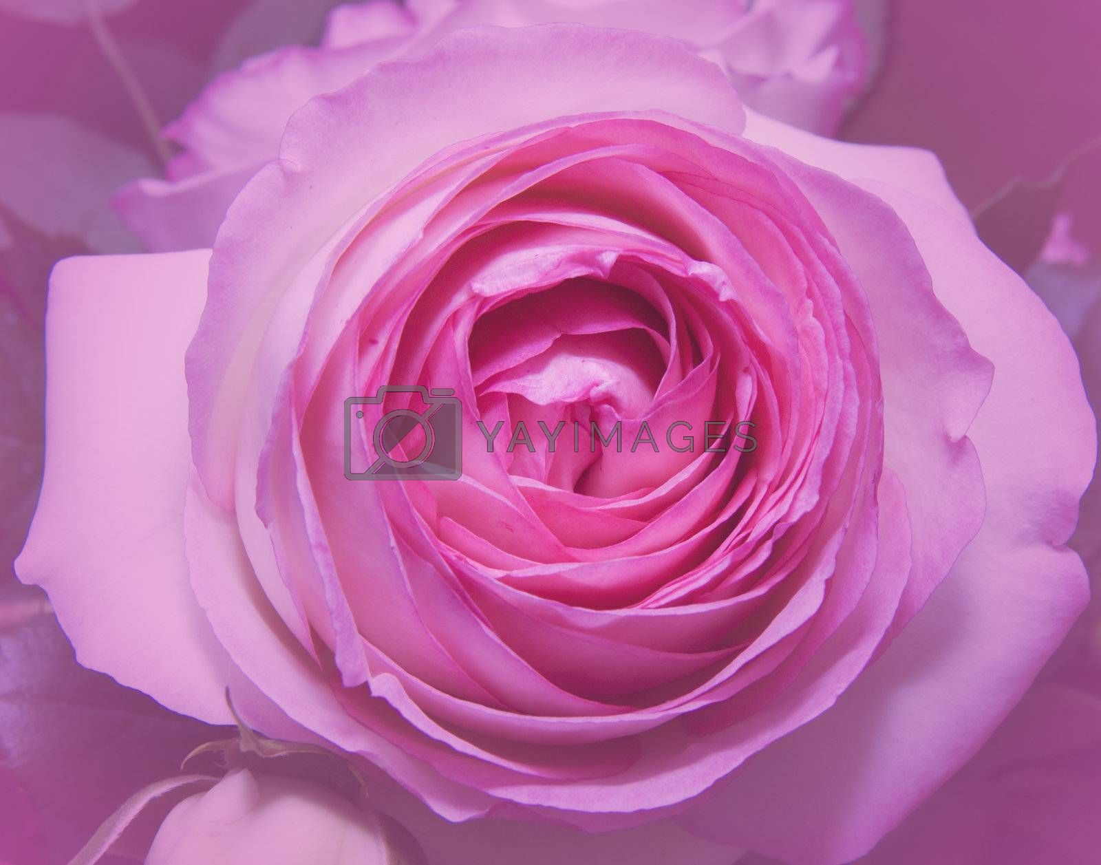 Royalty free image of Pink Rose by Koufax73