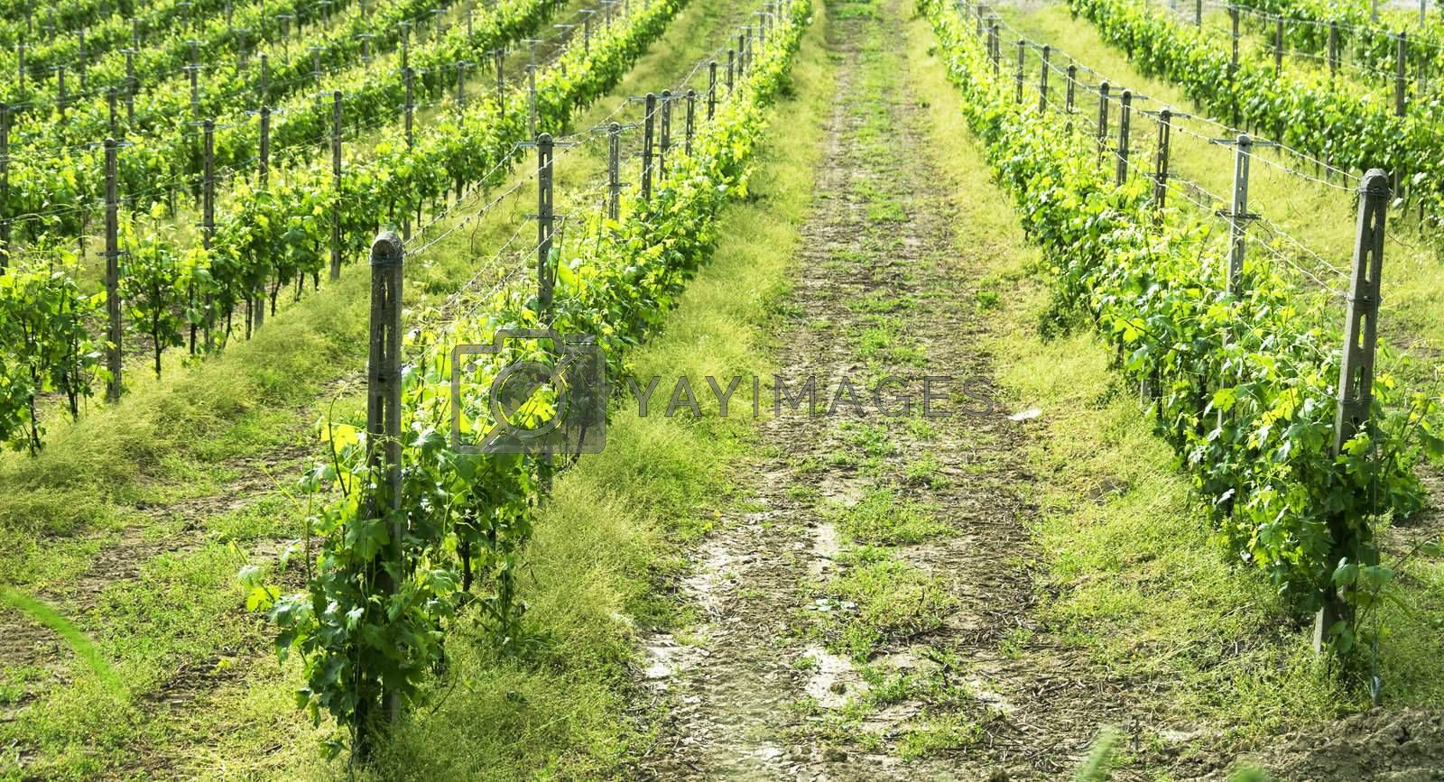 Royalty free image of Wine by Koufax73