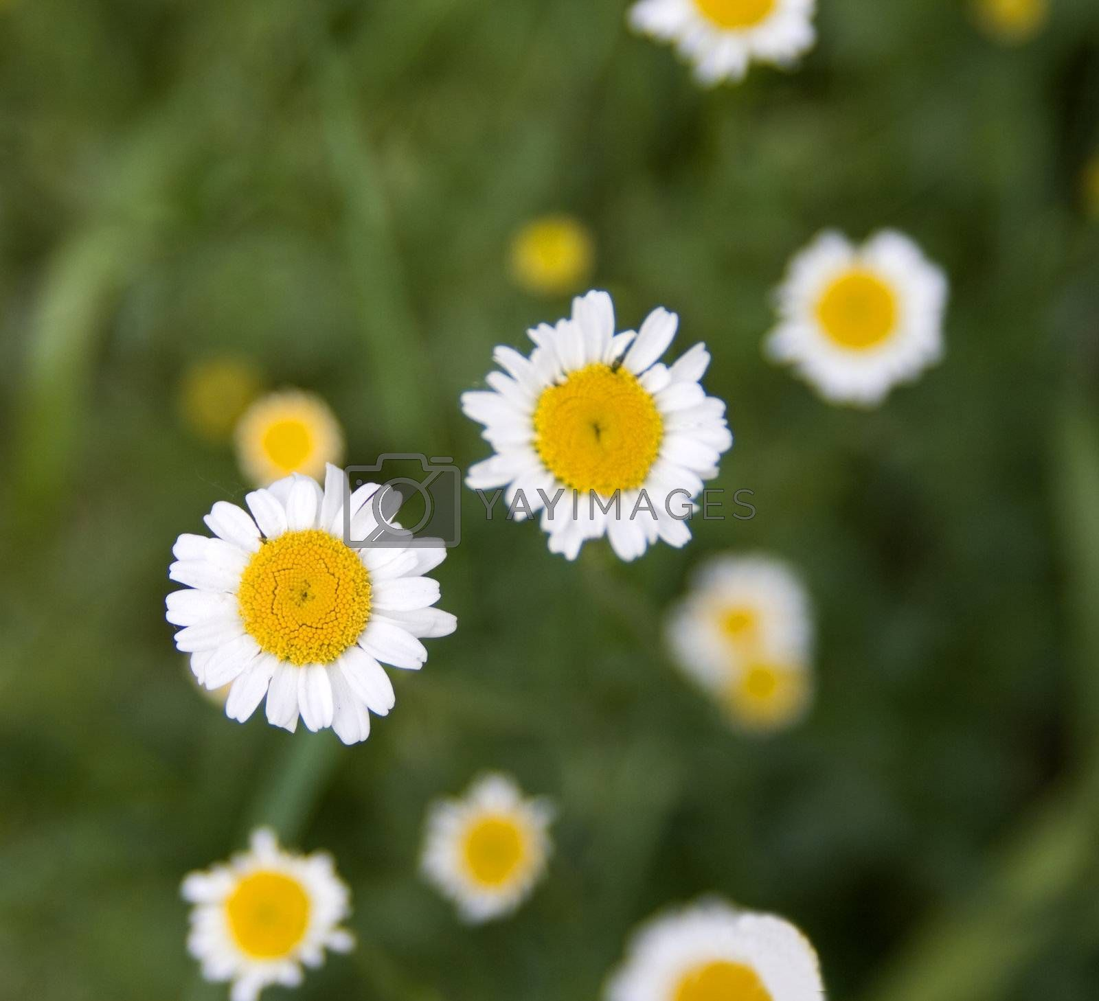 Royalty free image of Daisies by Koufax73