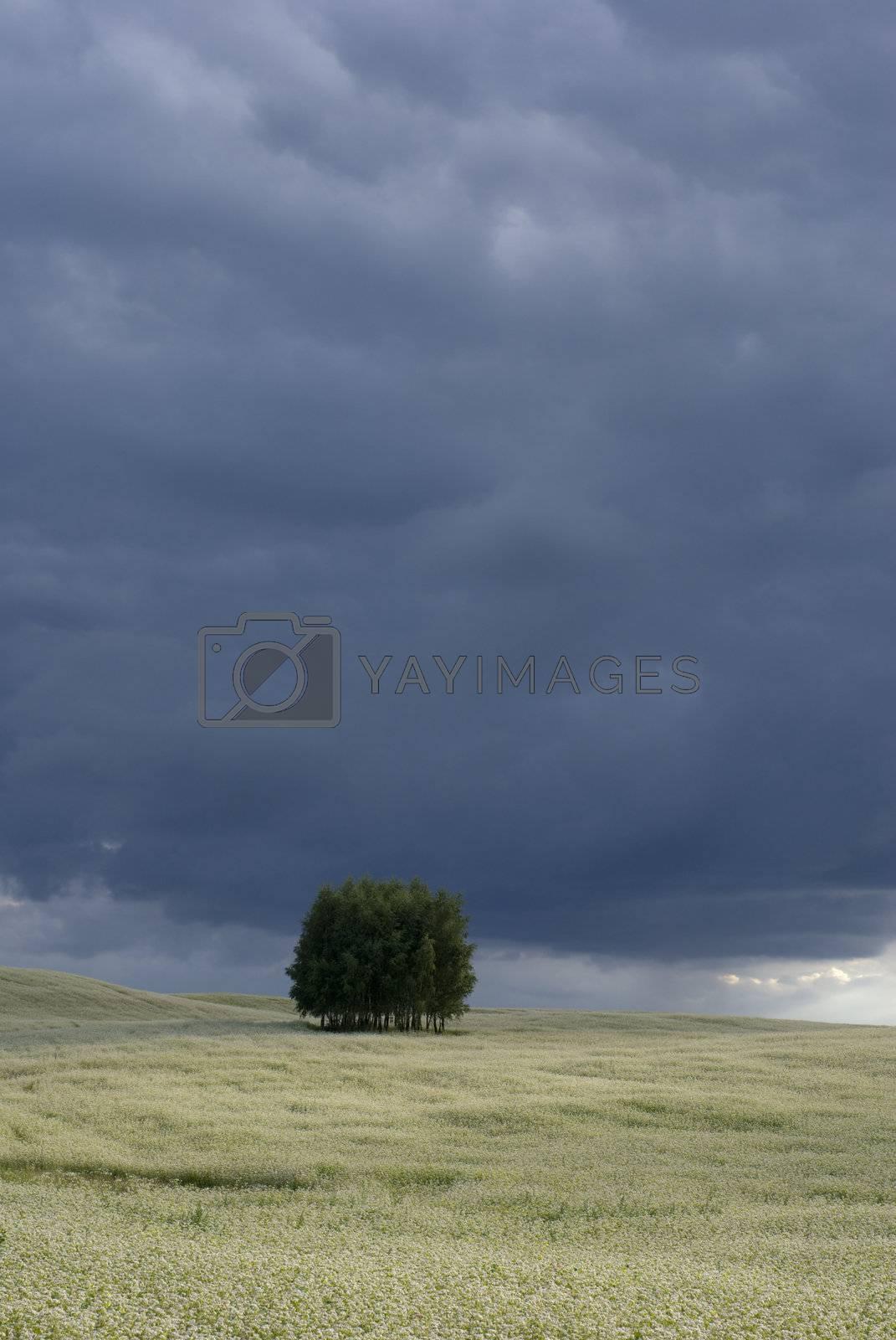 Royalty free image of Field of buckwheat. by Pietus