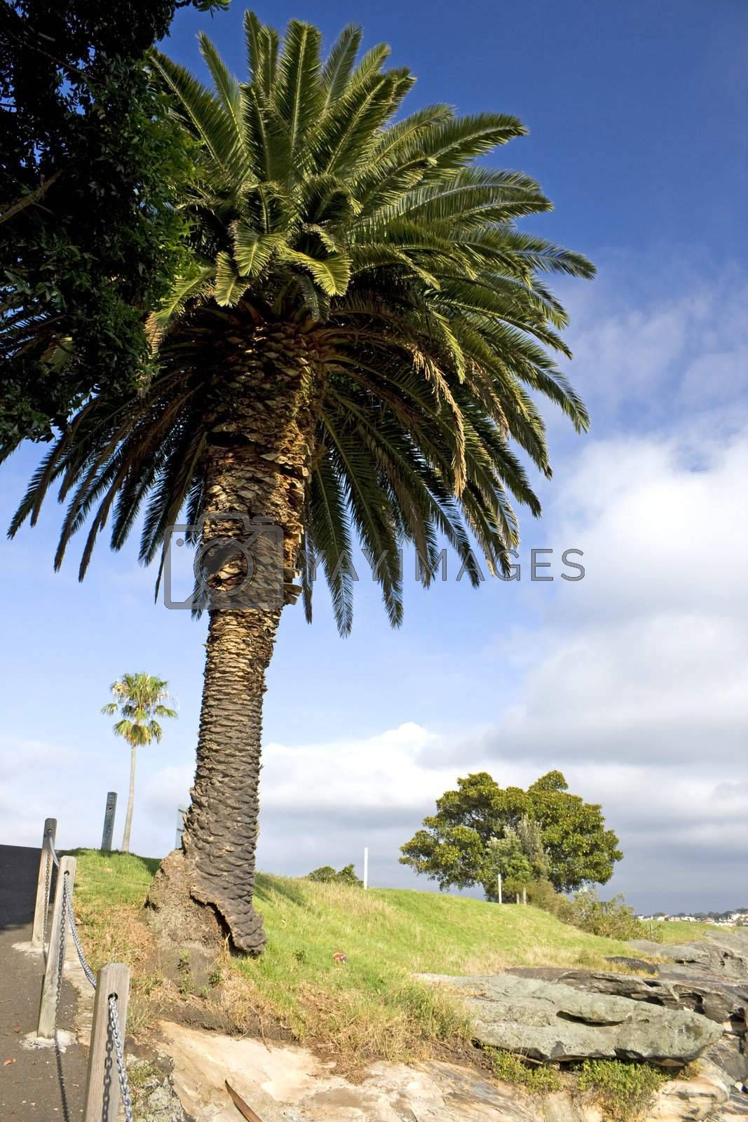 Royalty free image of Tree at Birkenhead Point, Sydney by shariffc