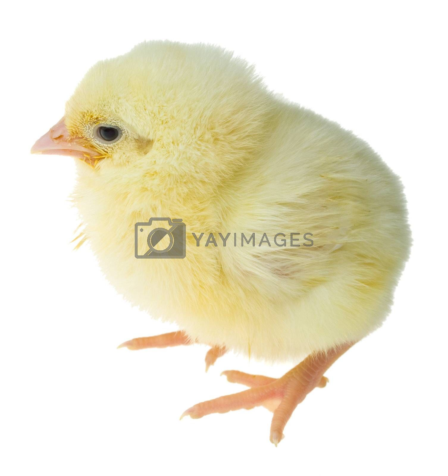 Royalty free image of single chick by Alekcey