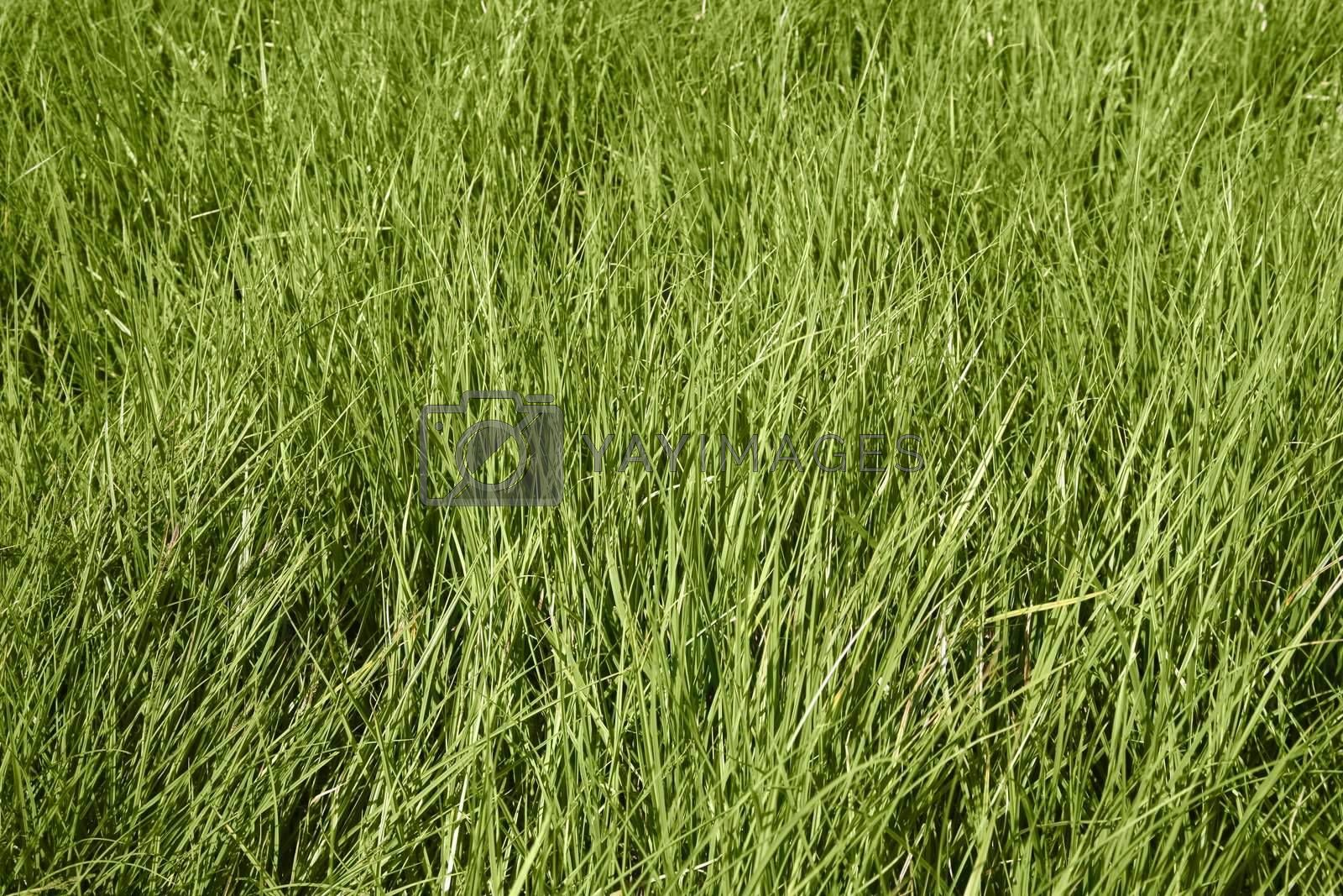 Royalty free image of Grass 3 by scrappinstacy