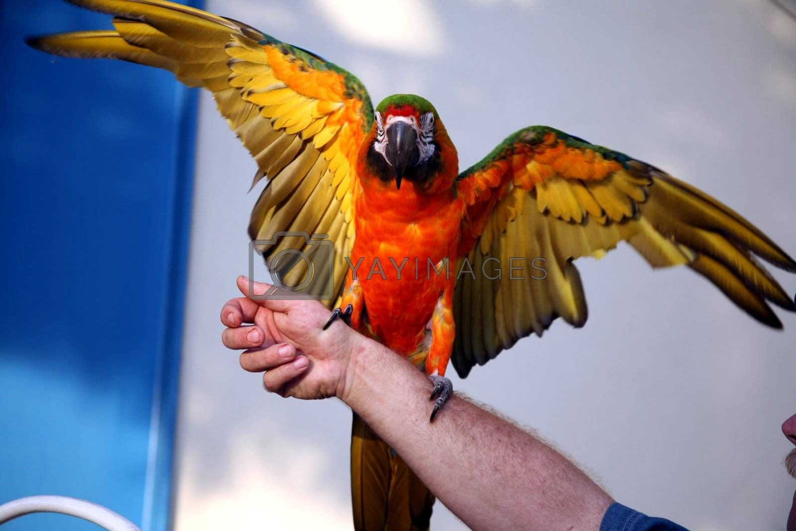Royalty free image of Green and gold macaw by scrappinstacy