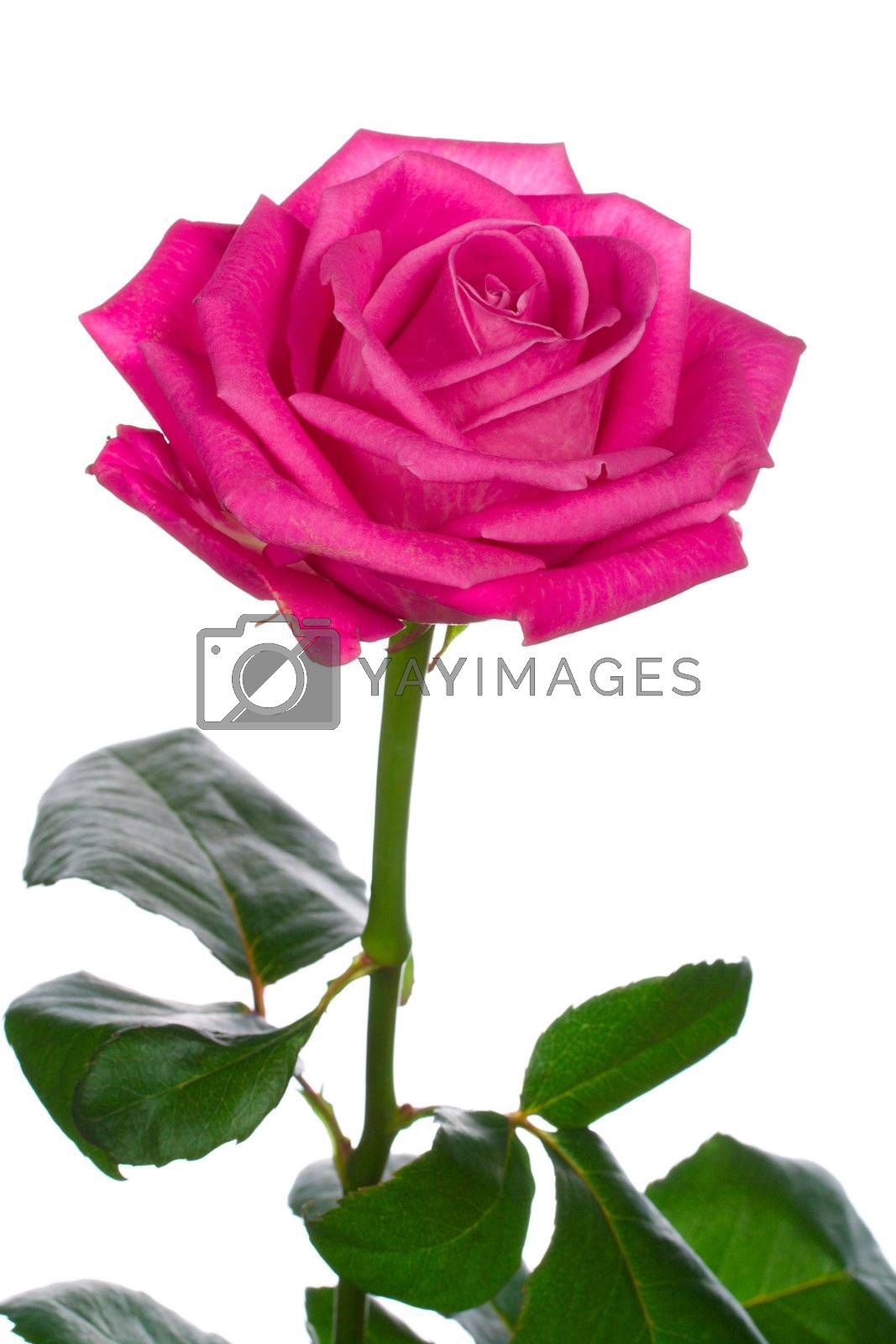 Royalty free image of beautiful pink rose by Alekcey