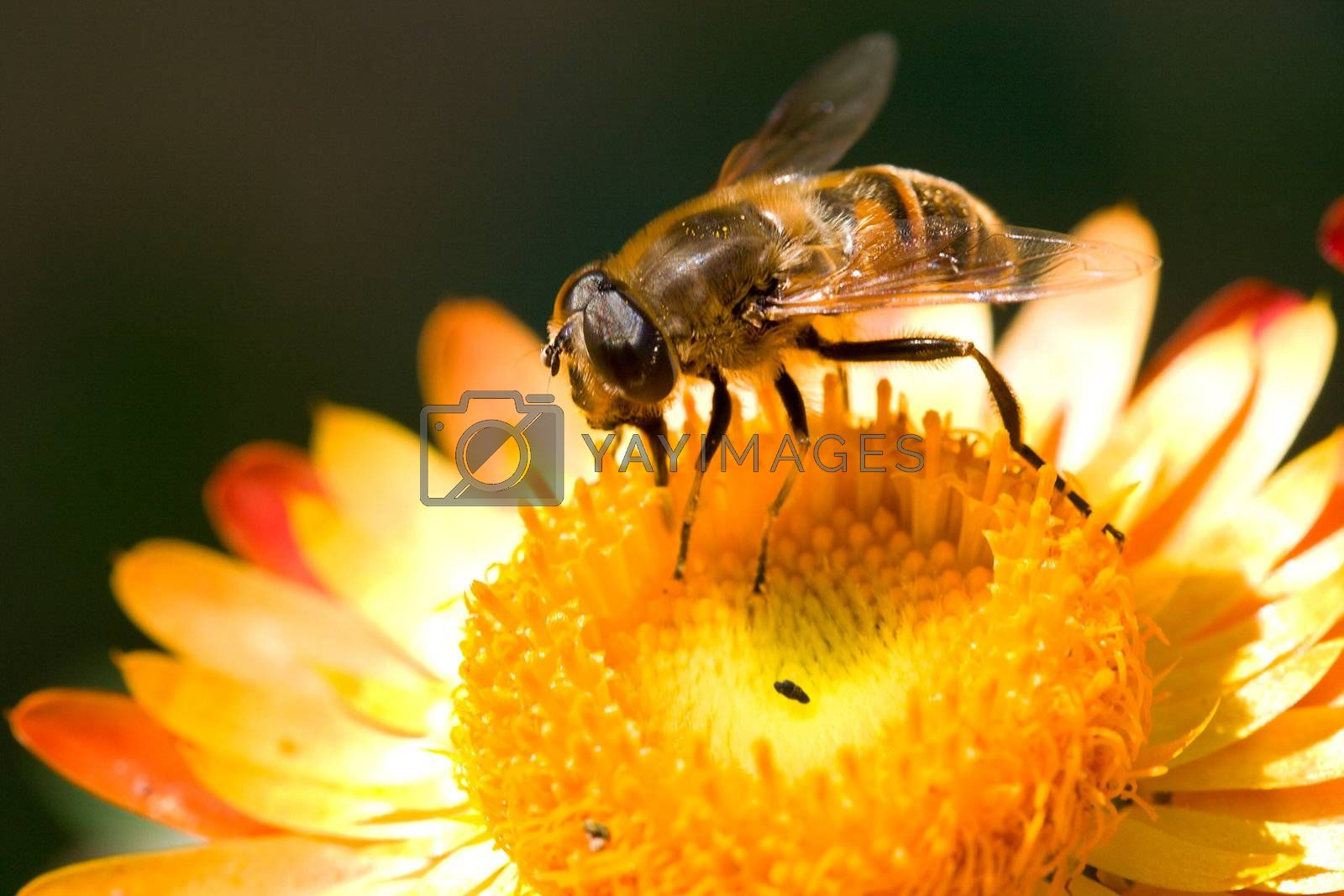 Royalty free image of bee on flower collects nectar by Alekcey