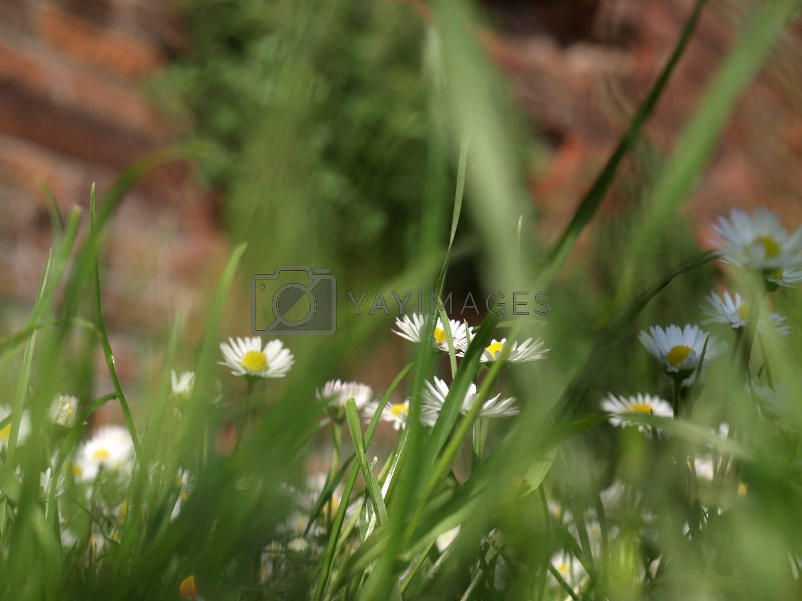 Royalty free image of Daisy by claudiodivizia