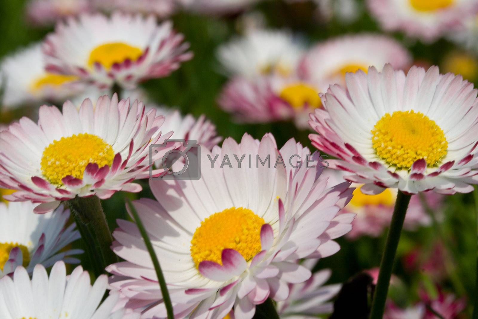 Royalty free image of close-up meadow with daisies by Alekcey