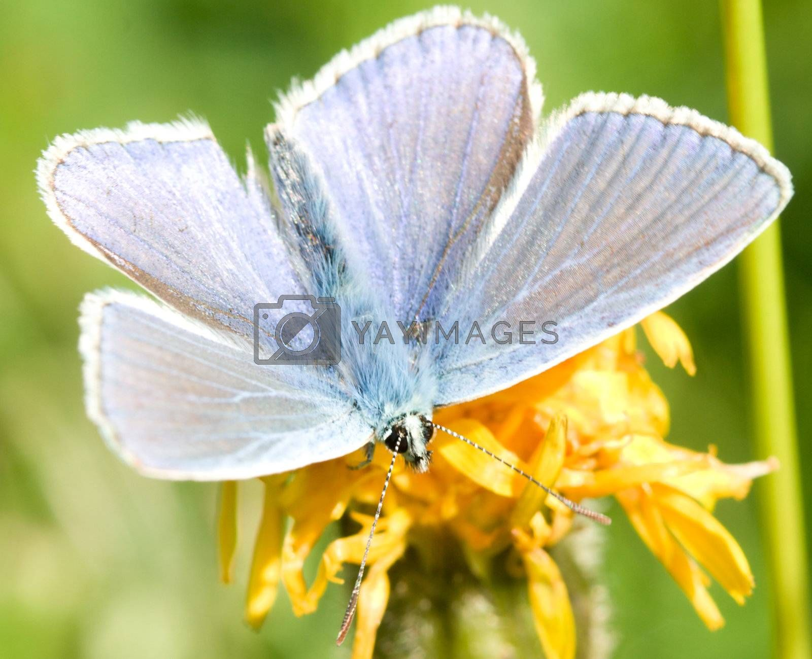 Royalty free image of cooper butterfly by Alekcey