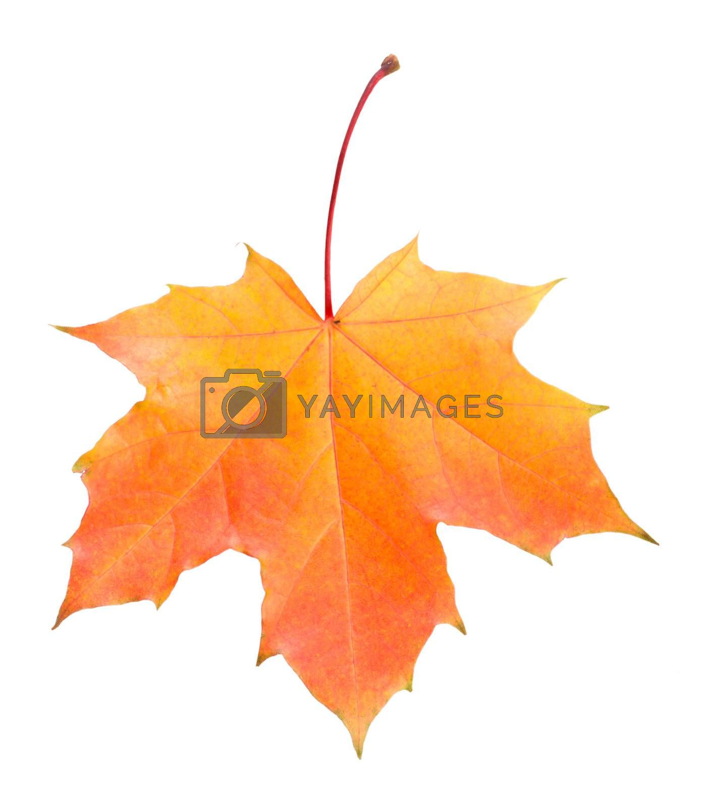 close-up single fallen yellow and red maple leaf, isolated on white