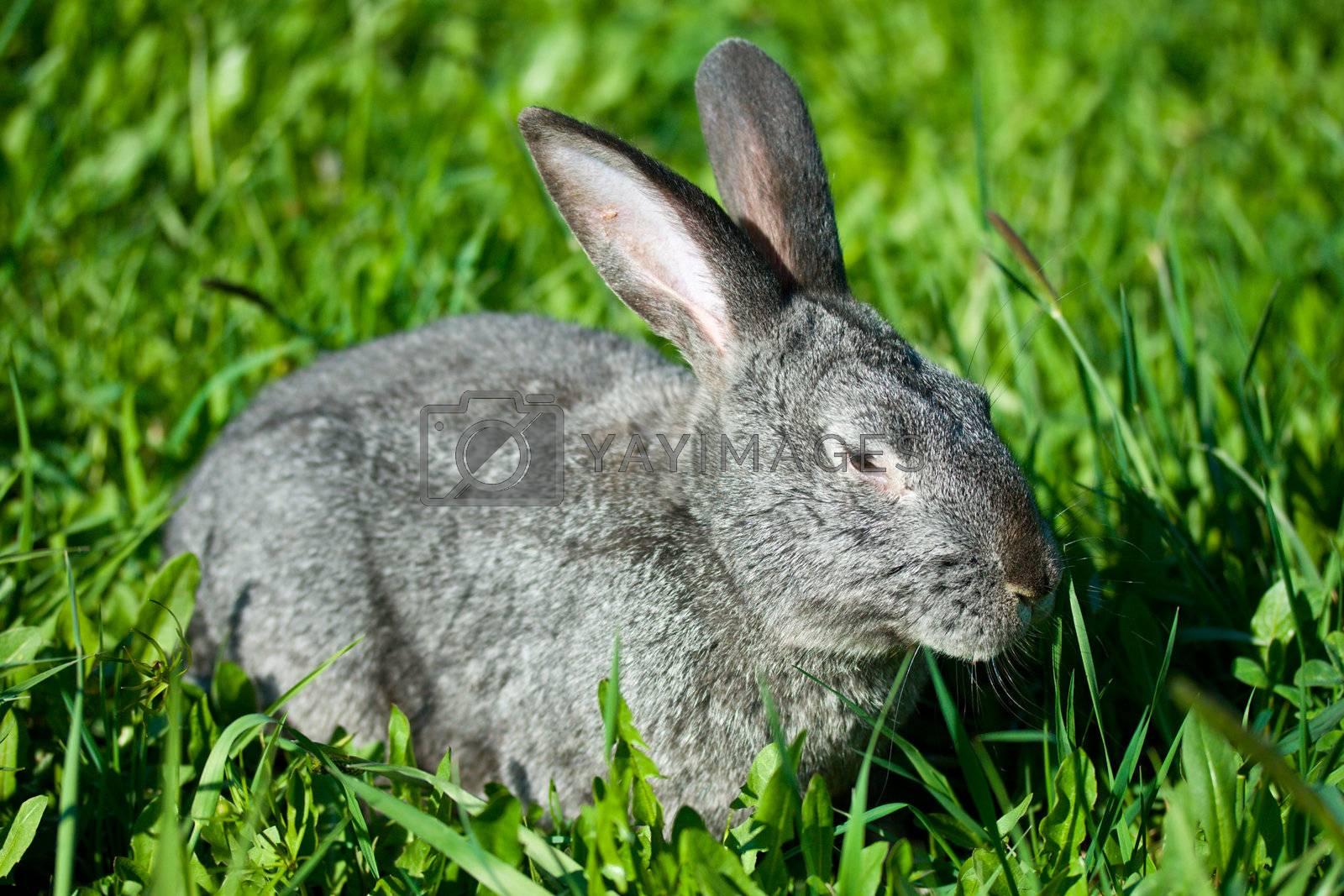 gray rabbit in green grass