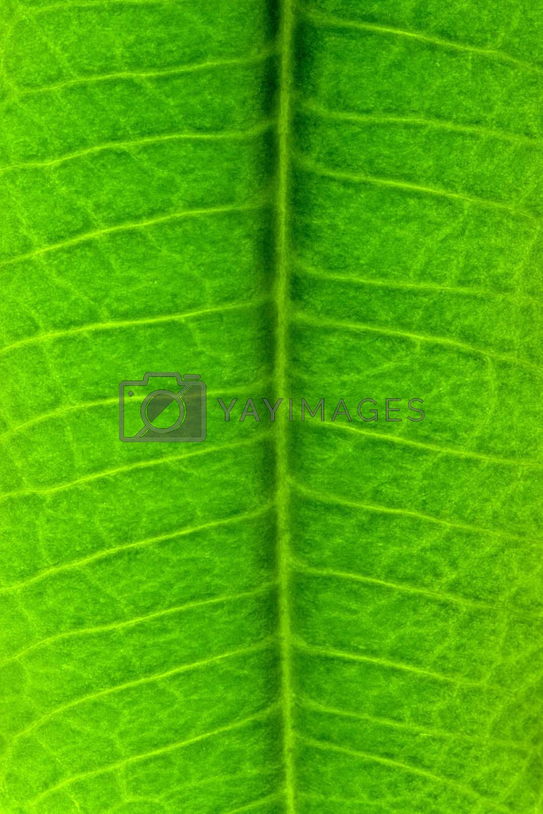 Royalty free image of green leaf texture by Alekcey