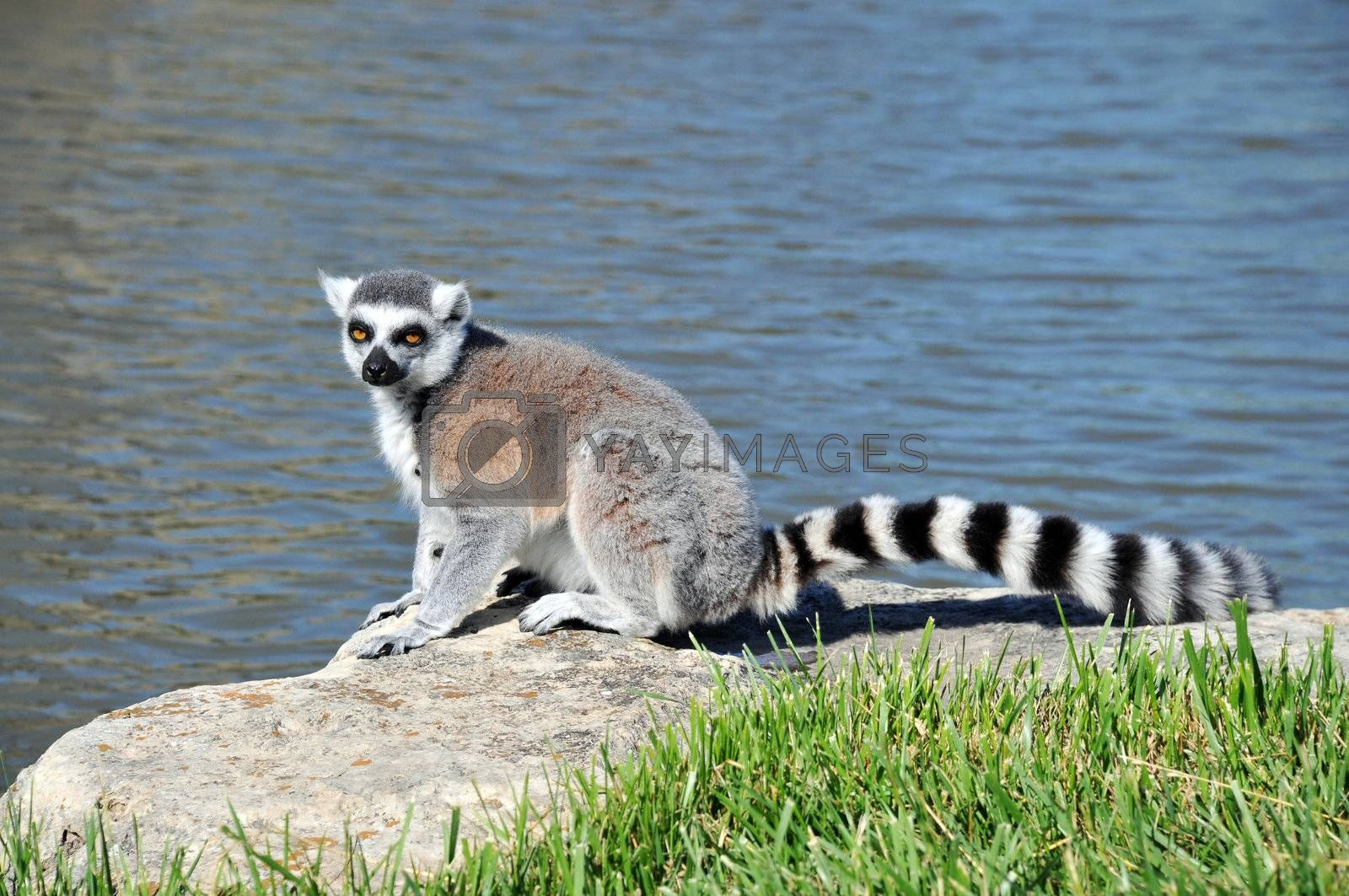 Royalty free image of Ring-tailed Lemur by PDImages