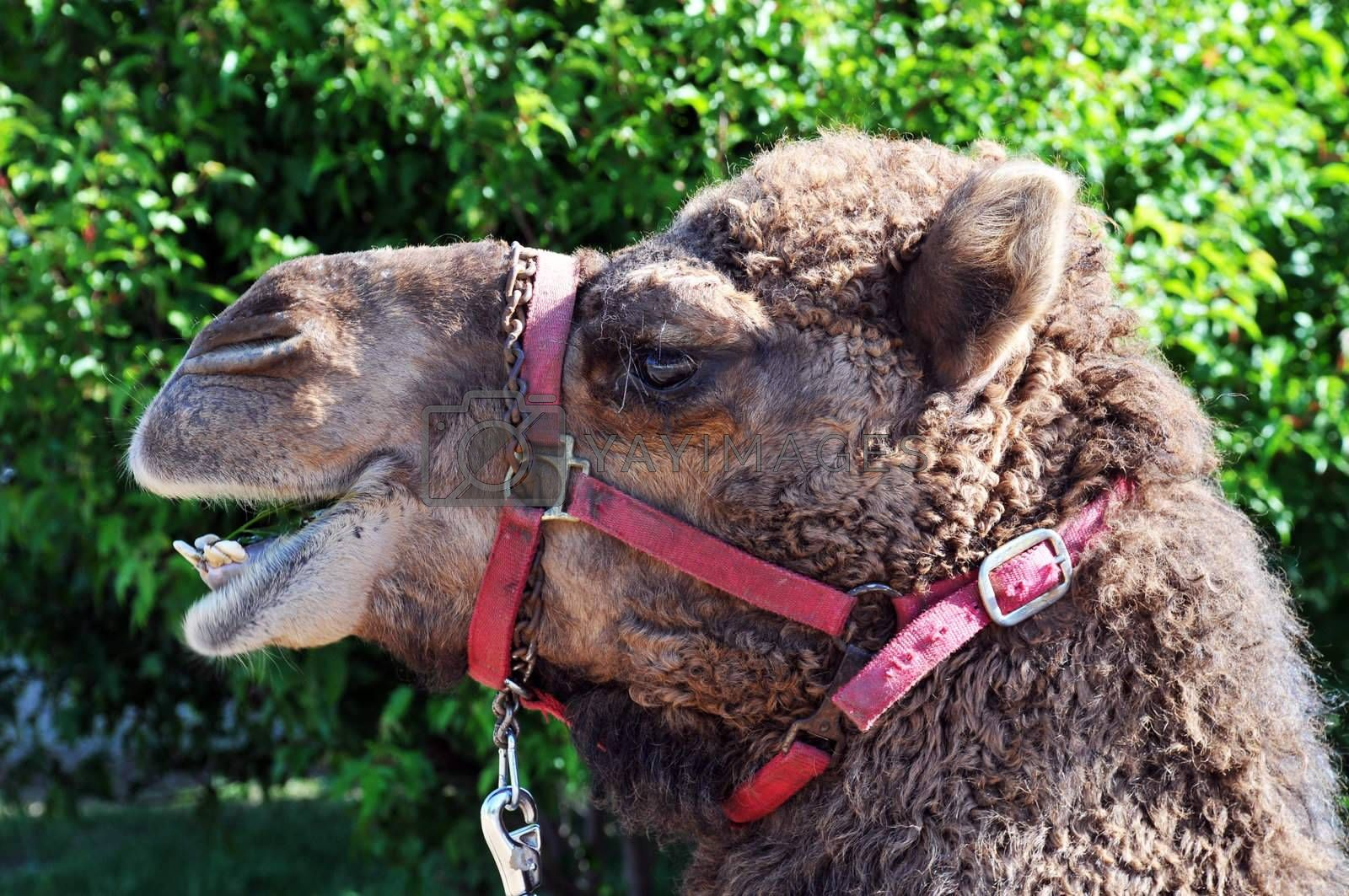 Royalty free image of camel by PDImages