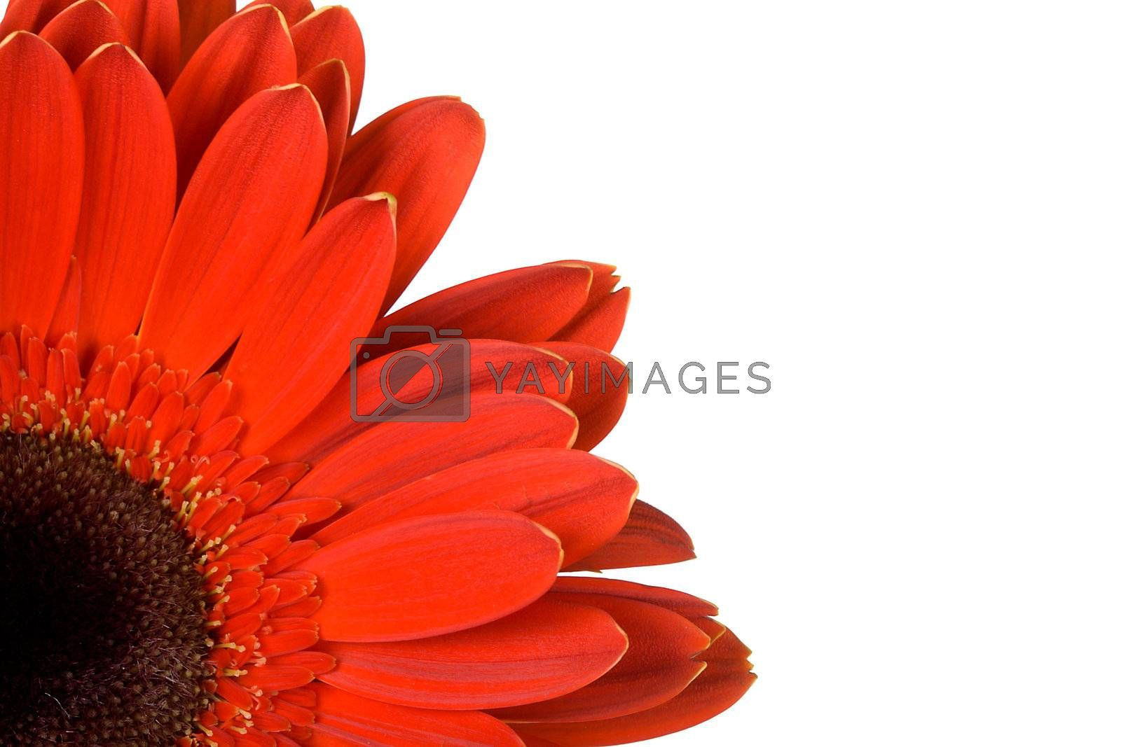 Royalty free image of part of red gerbera with blank place for your text by Alekcey