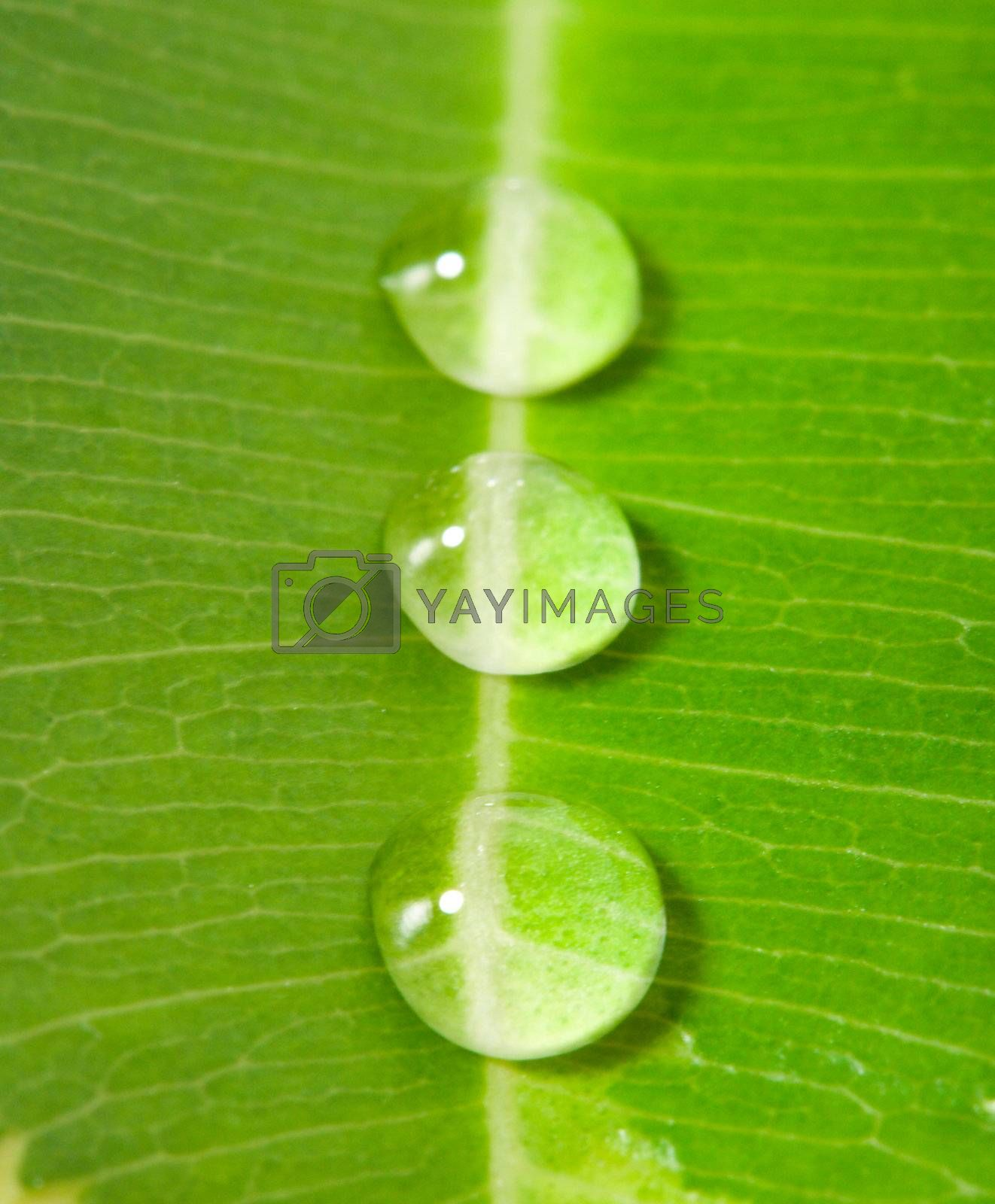 close-up three water drops on a green leaf