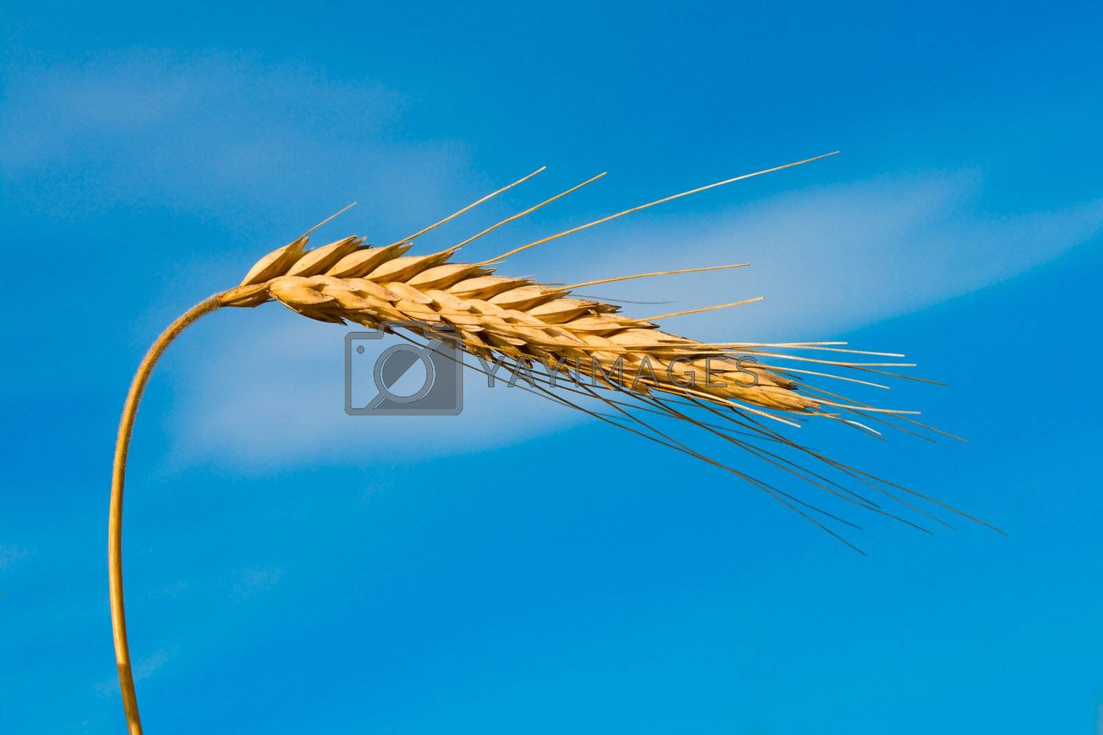 close-up wheat spikelet on blue sky background