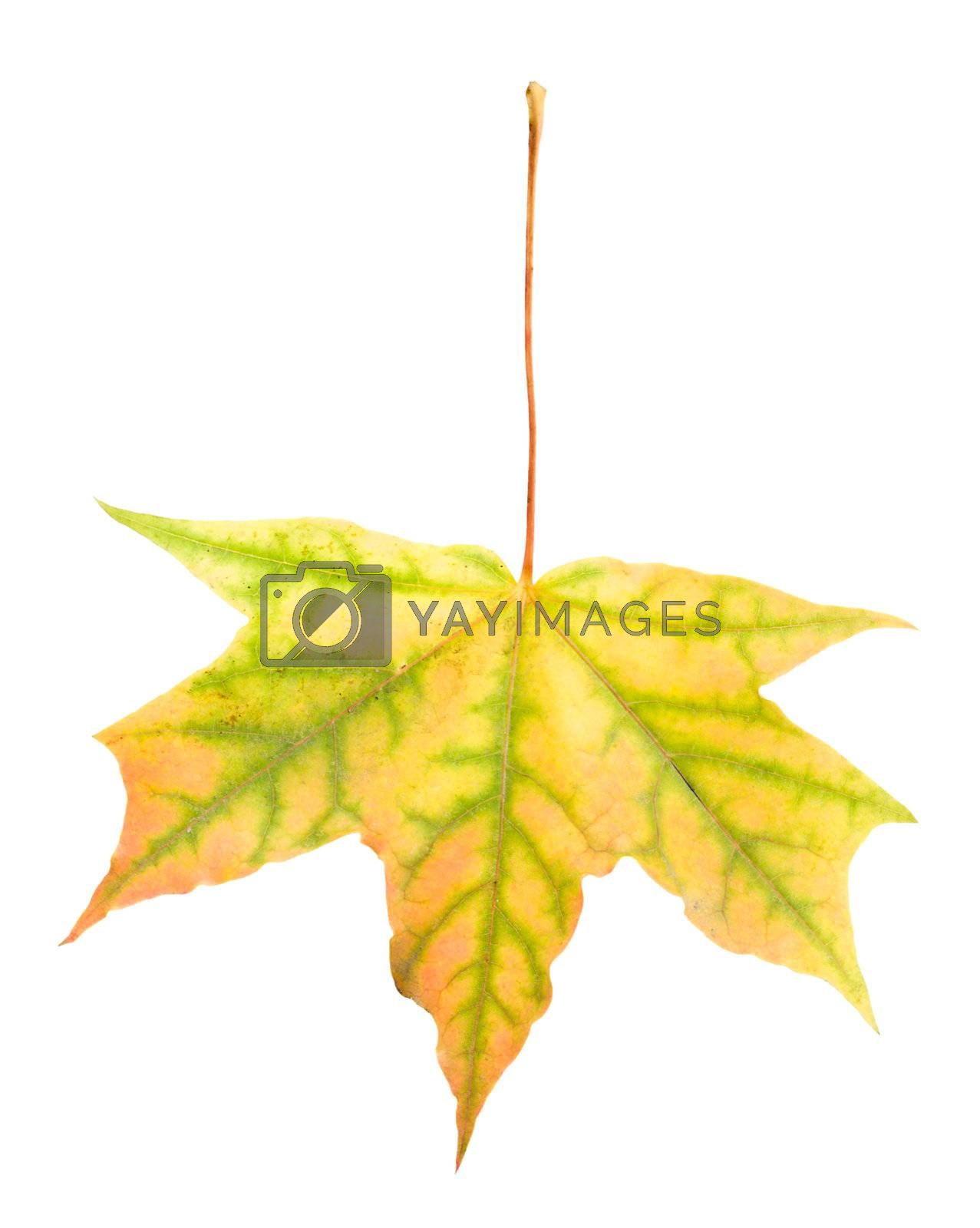 close-up single fallen yellow maple leaf, isolated on white