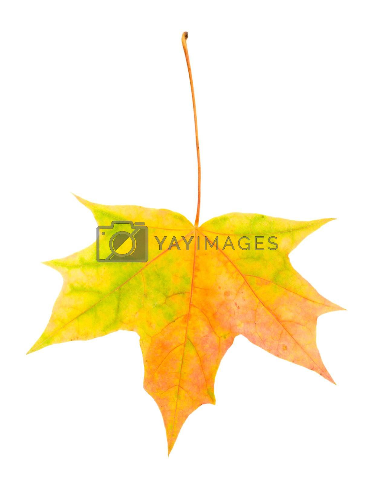 close-up single fallen yellow red and green maple leaf, isolated on white