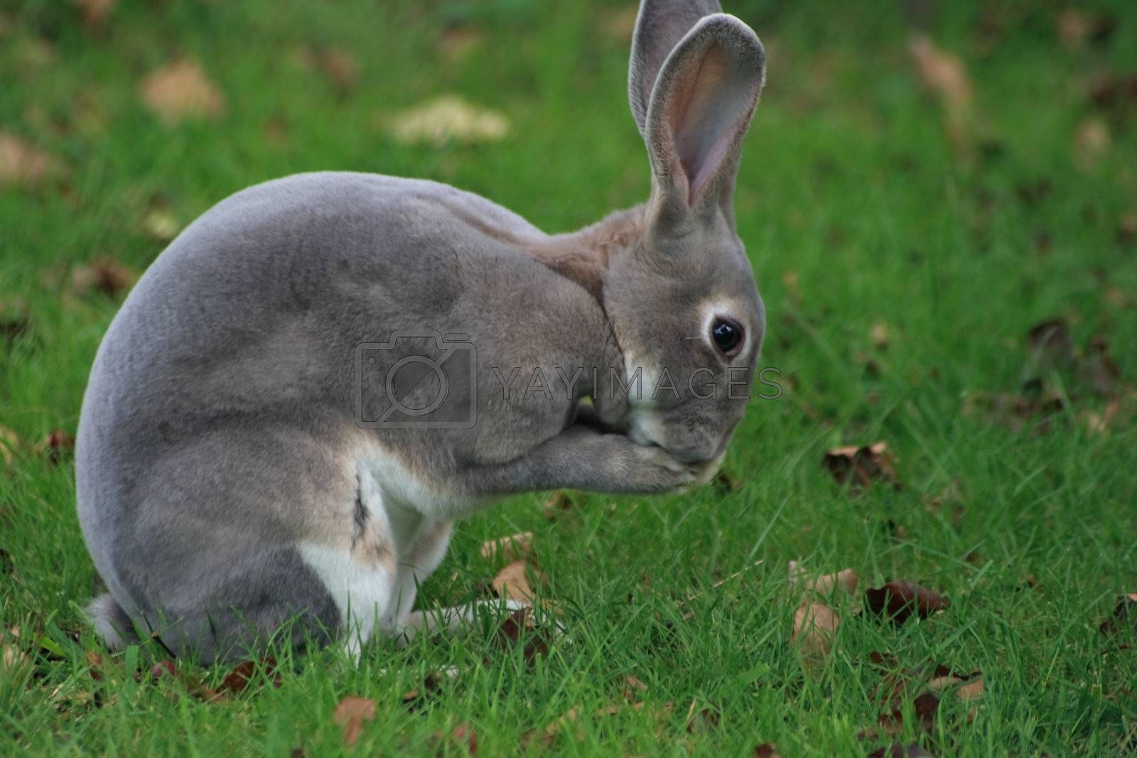 wild bunny cleaning its face after eating