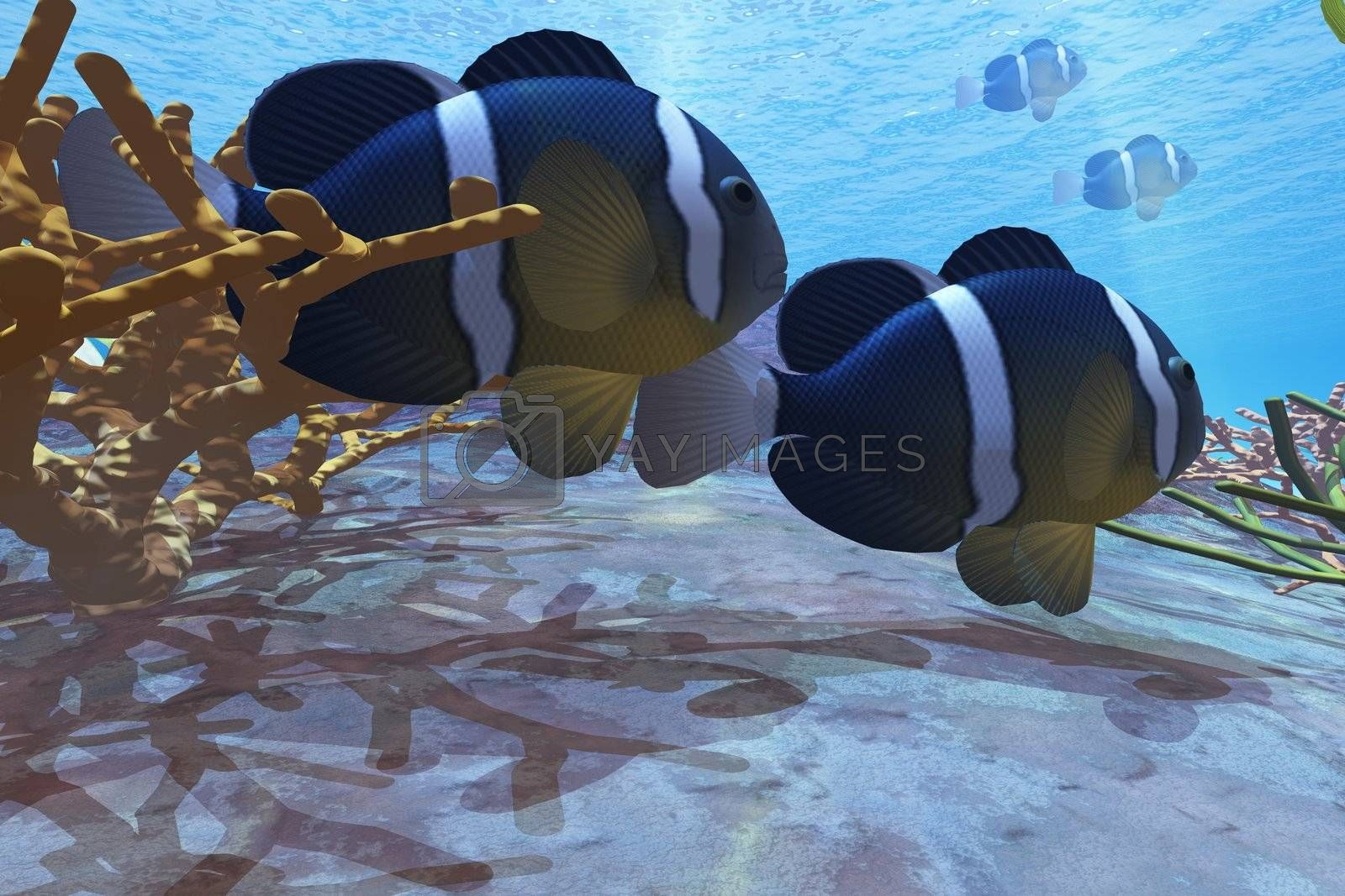 Two clownfish swim among the coral beds on an ocean reef.