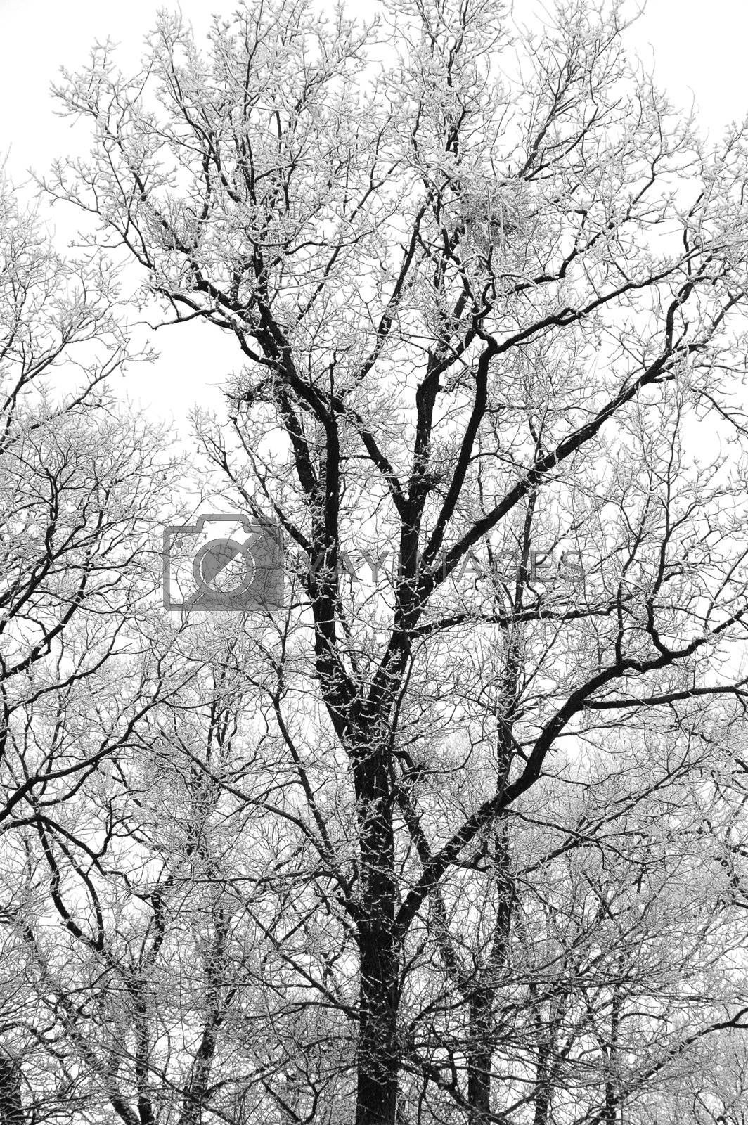 Trees covered in snow on a cloudy winter day