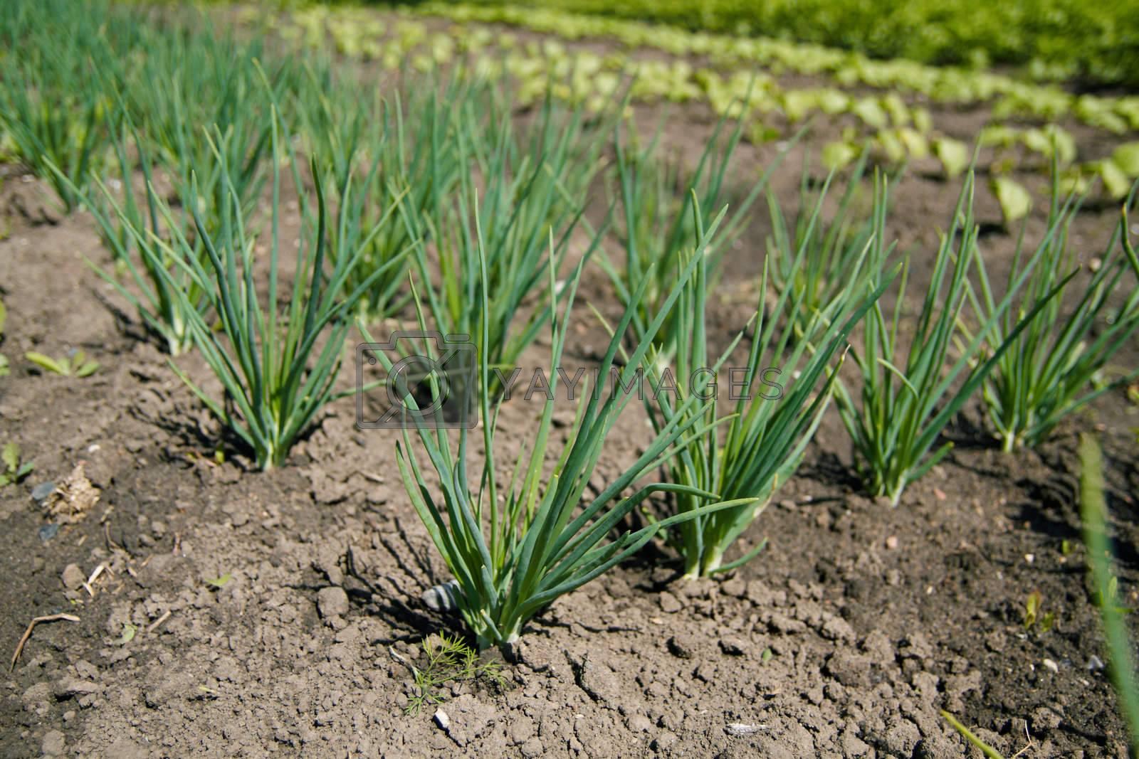 Fresh onions growing in the farmland