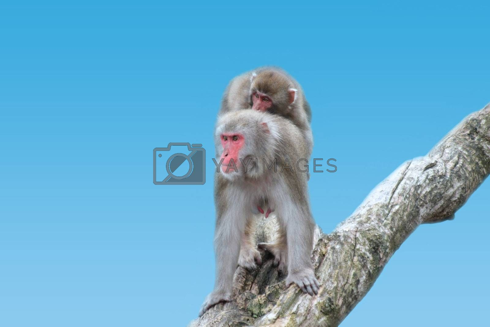 This image shows a mother macaque with her children